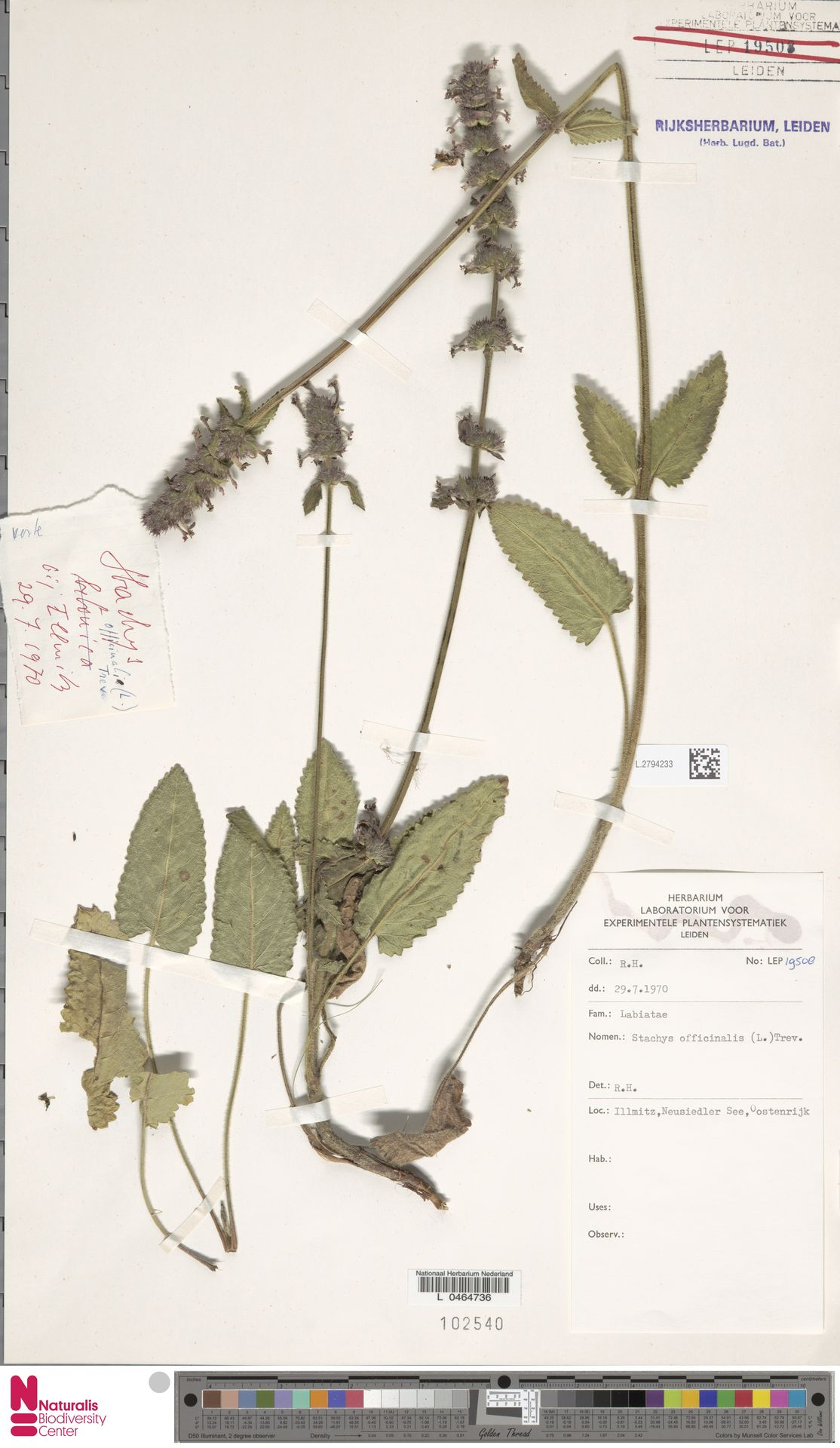 L.2794233 | Stachys officinalis (L.) Trevis.