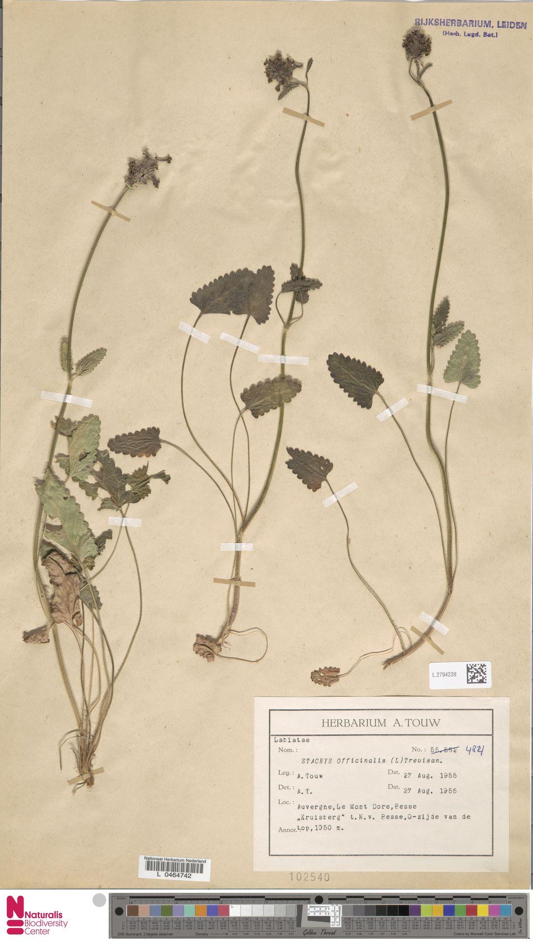 L.2794239   Stachys officinalis (L.) Trevis.