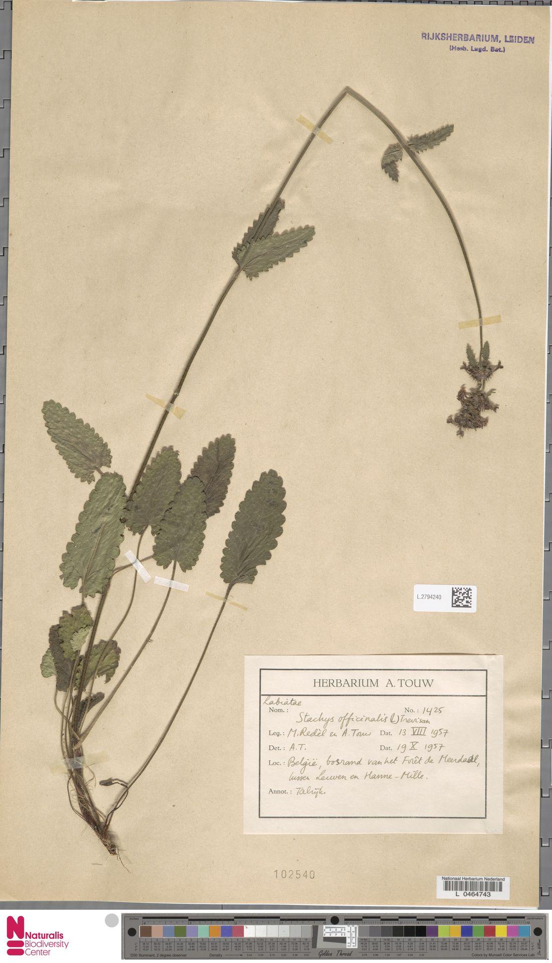 L.2794240 | Stachys officinalis (L.) Trevis.