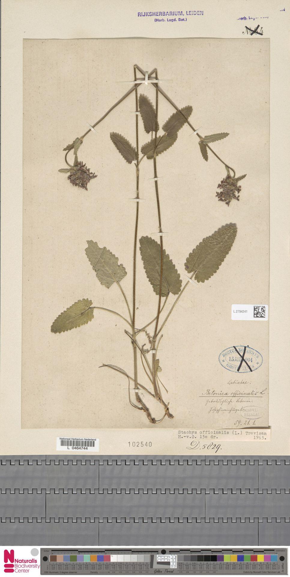 L.2794241 | Stachys officinalis (L.) Trevis.