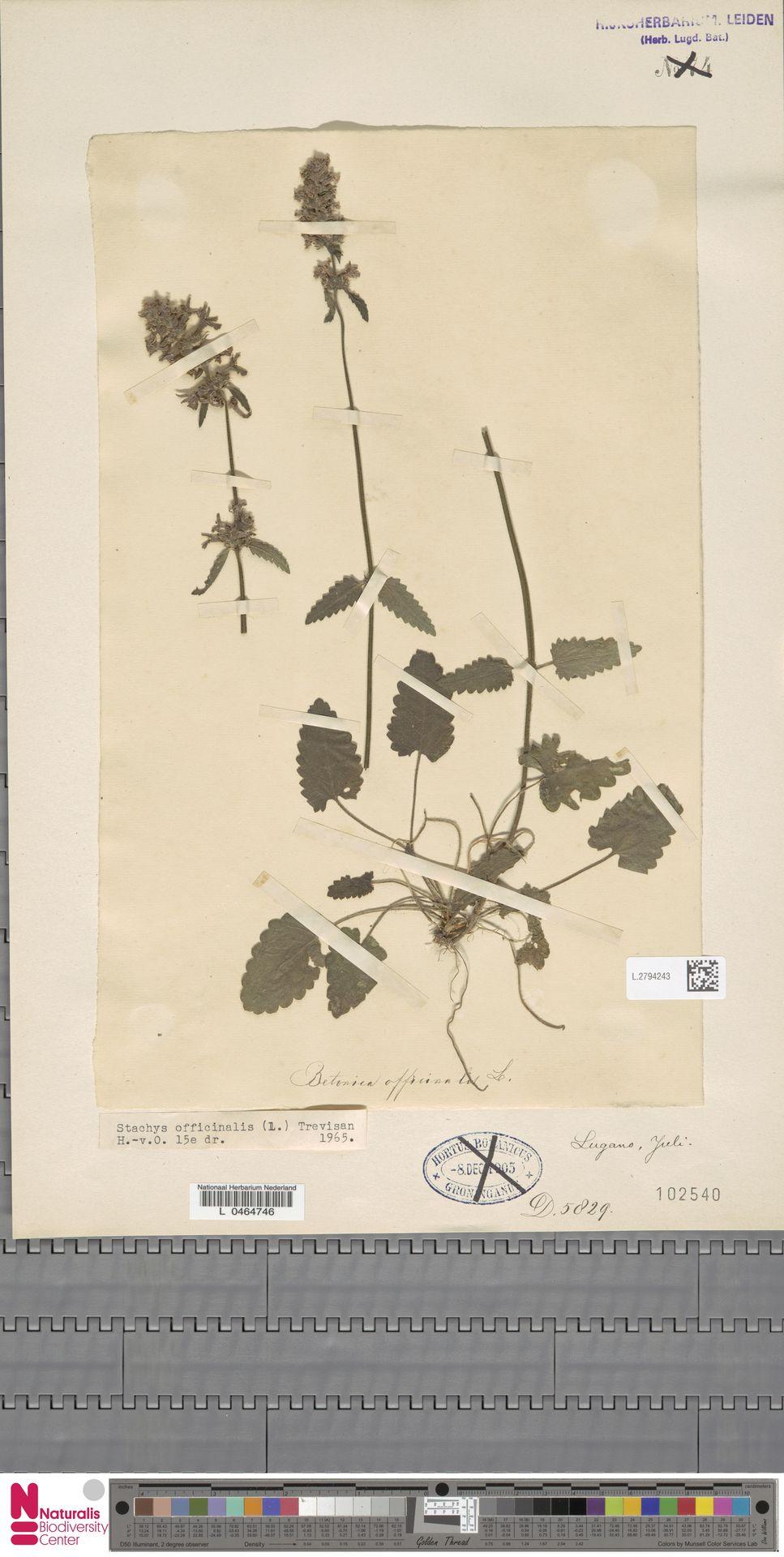 L.2794243 | Stachys officinalis (L.) Trevis.