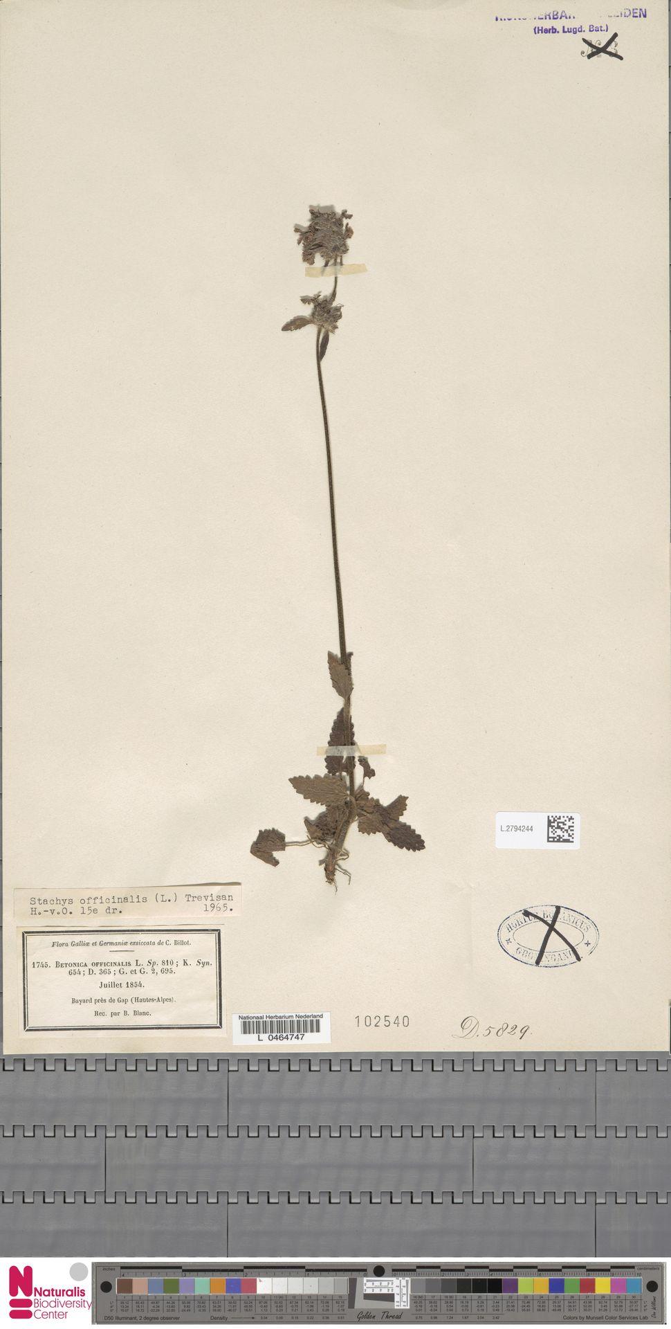 L.2794244 | Stachys officinalis (L.) Trevis.