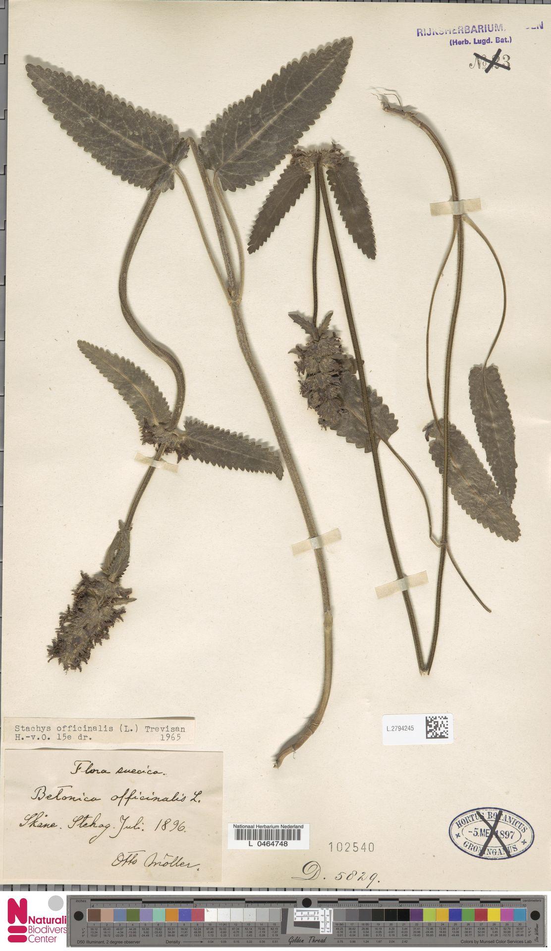 L.2794245   Stachys officinalis (L.) Trevis.