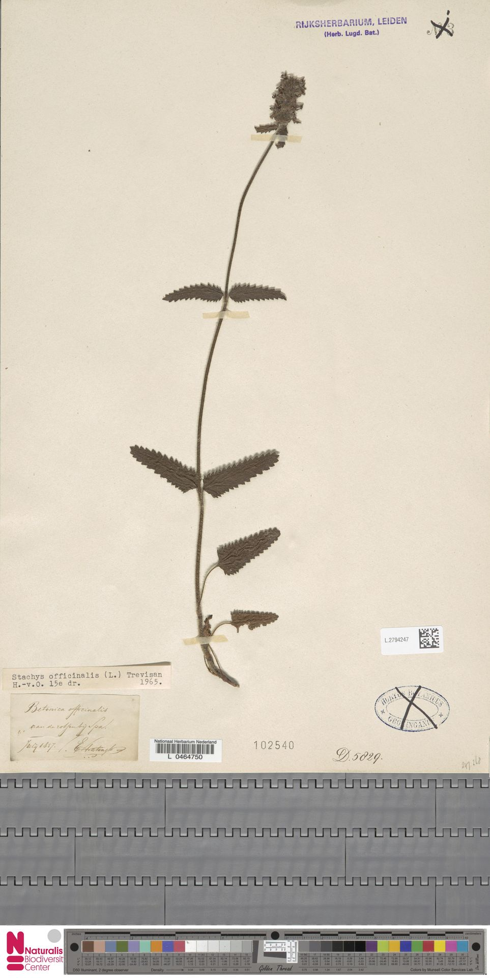 L.2794247 | Stachys officinalis (L.) Trevis.
