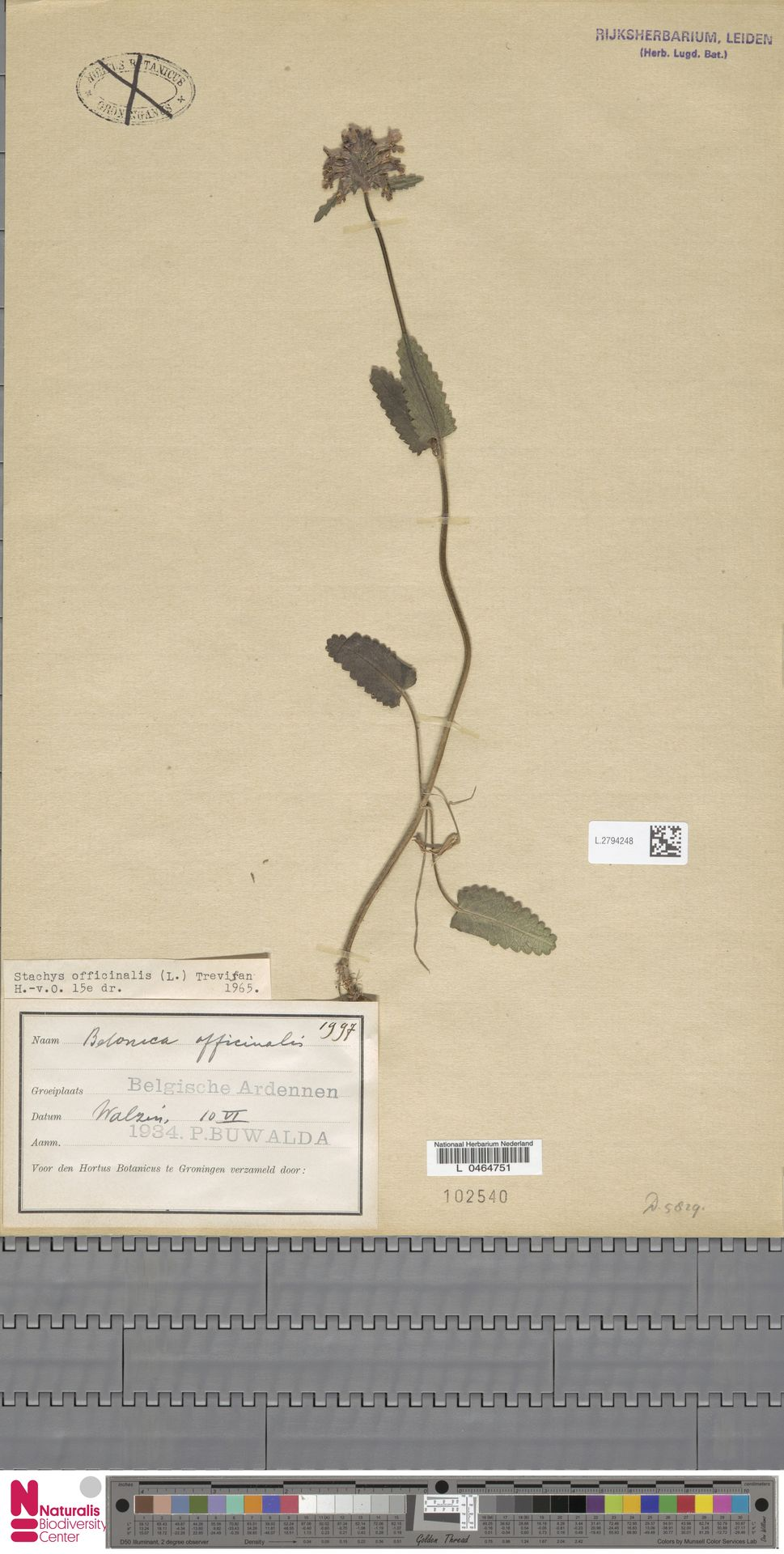 L.2794248 | Stachys officinalis (L.) Trevis.