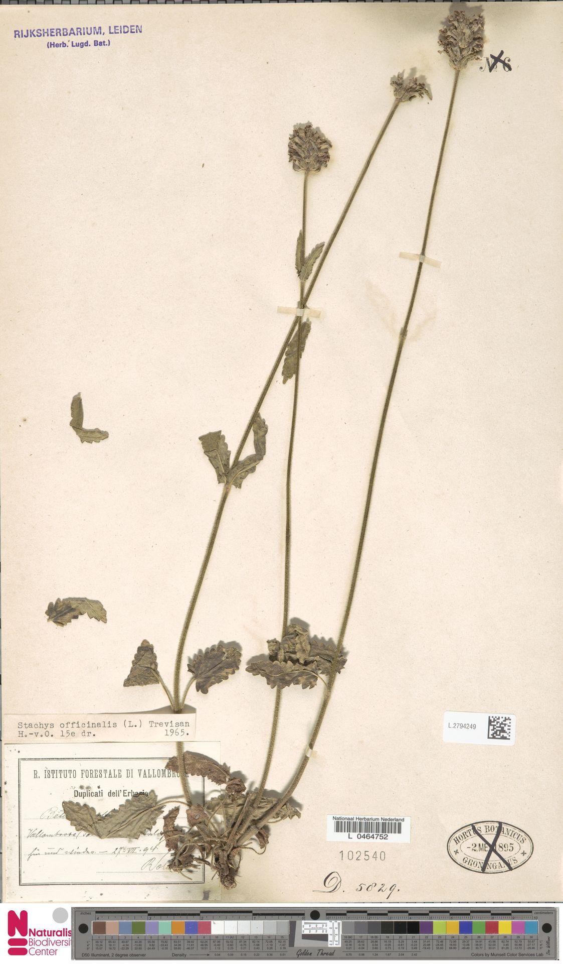 L.2794249 | Stachys officinalis (L.) Trevis.