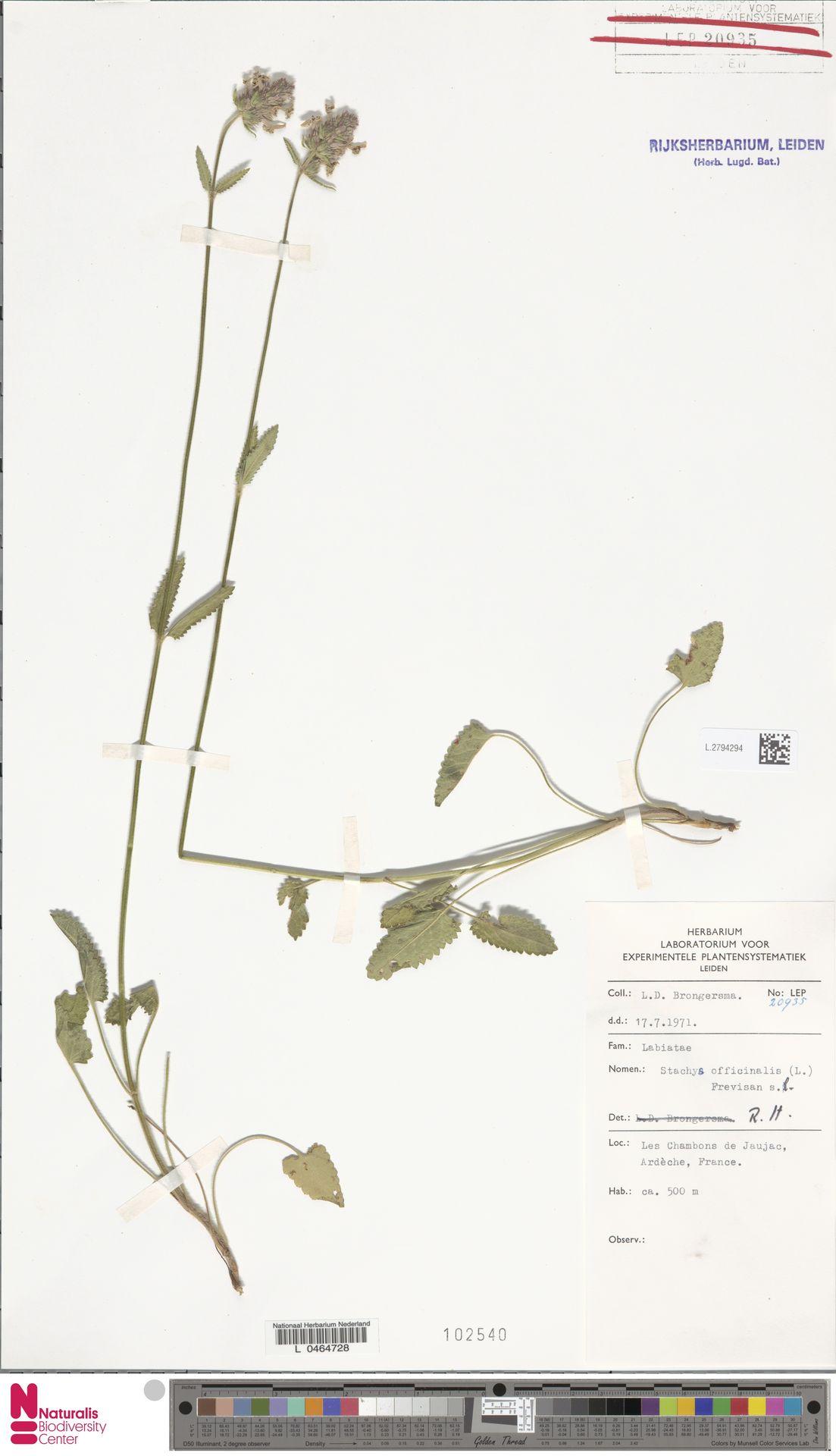 L.2794294   Stachys officinalis (L.) Trevis.