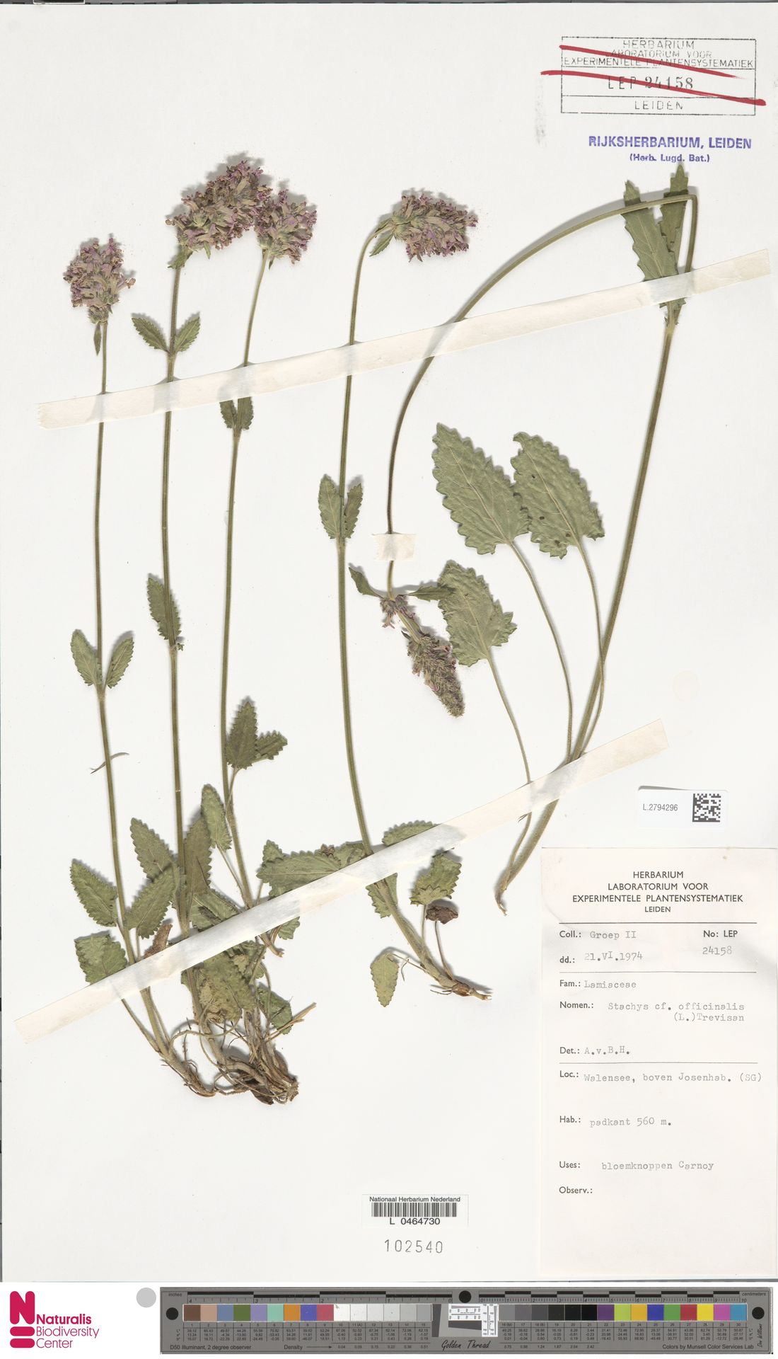 L.2794296 | Stachys officinalis (L.) Trevis.
