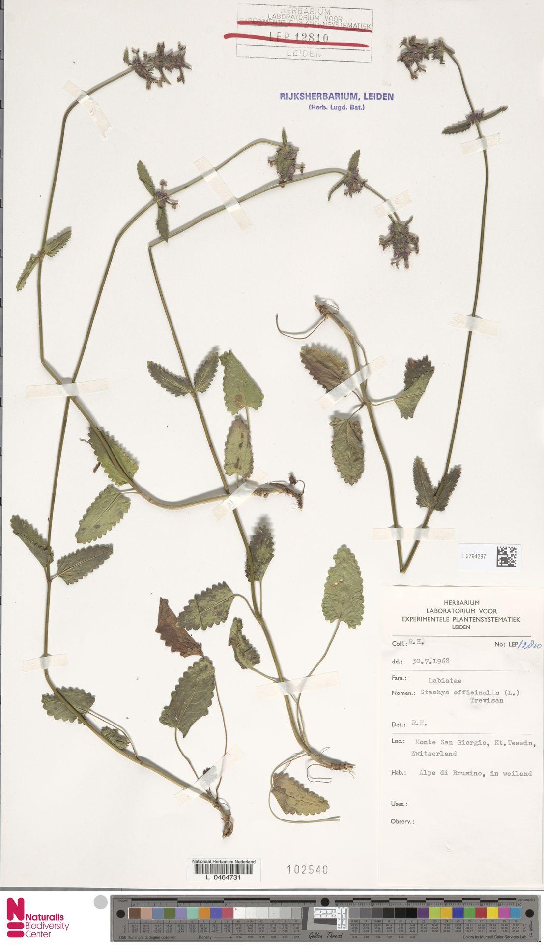 L.2794297 | Stachys officinalis (L.) Trevis.