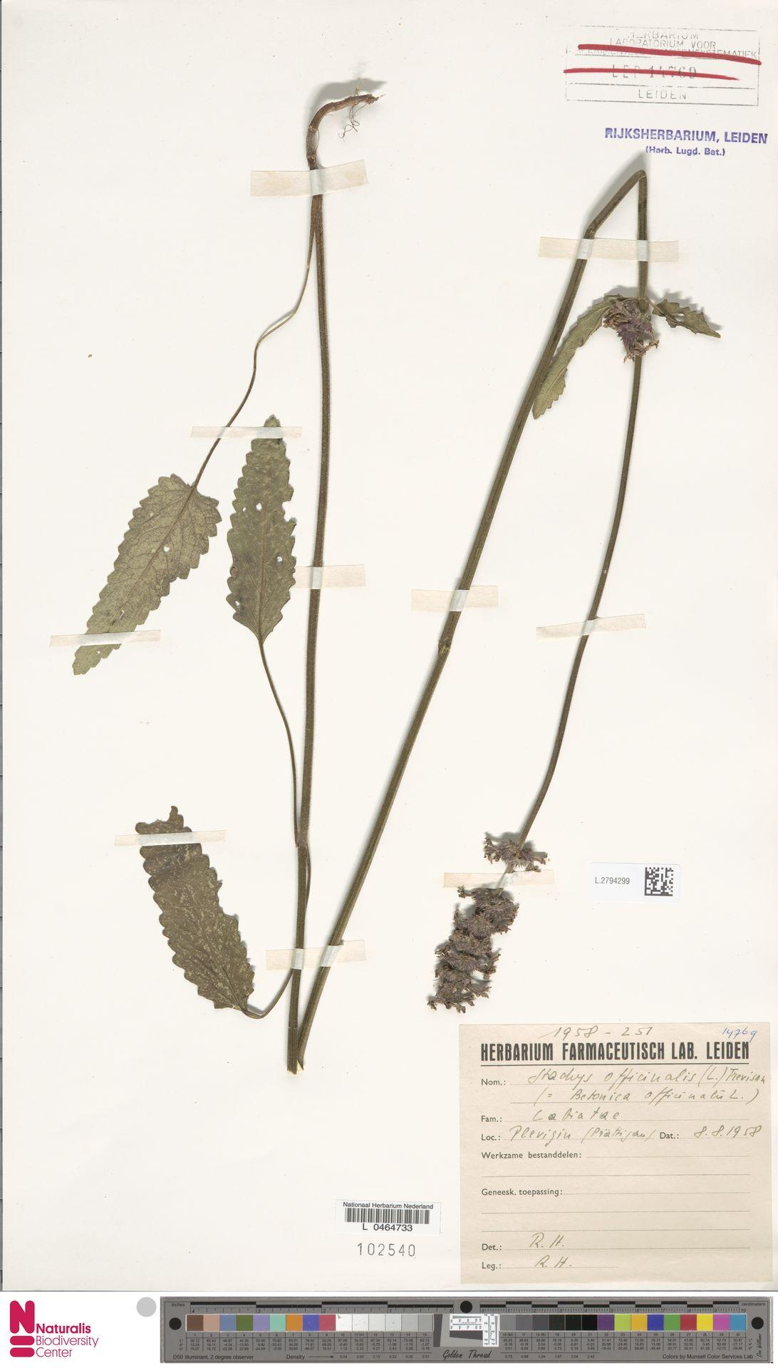 L.2794299   Stachys officinalis (L.) Trevis.