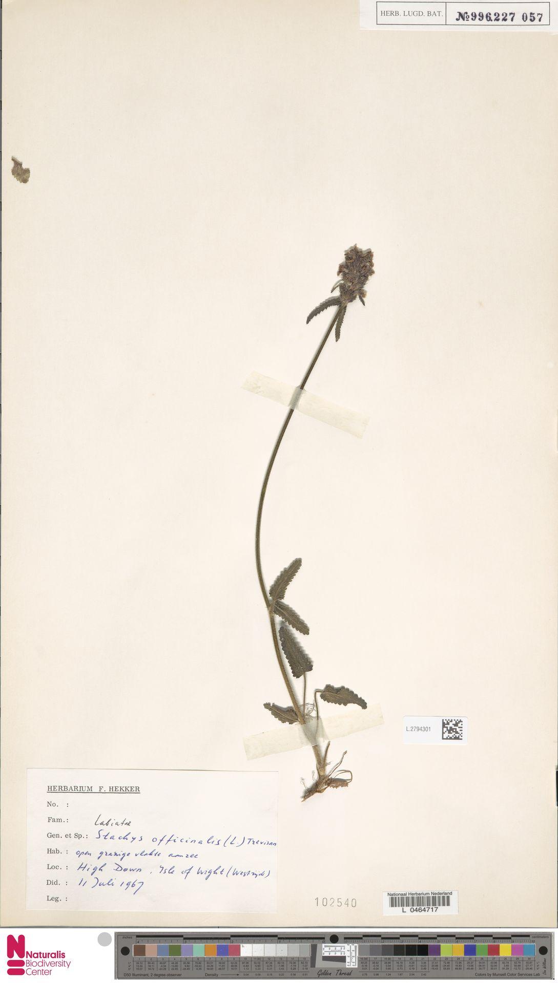 L.2794301   Stachys officinalis (L.) Trevis.