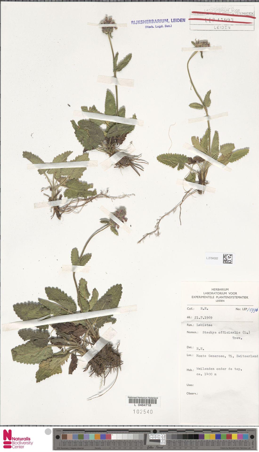L.2794302 | Stachys officinalis (L.) Trevis.