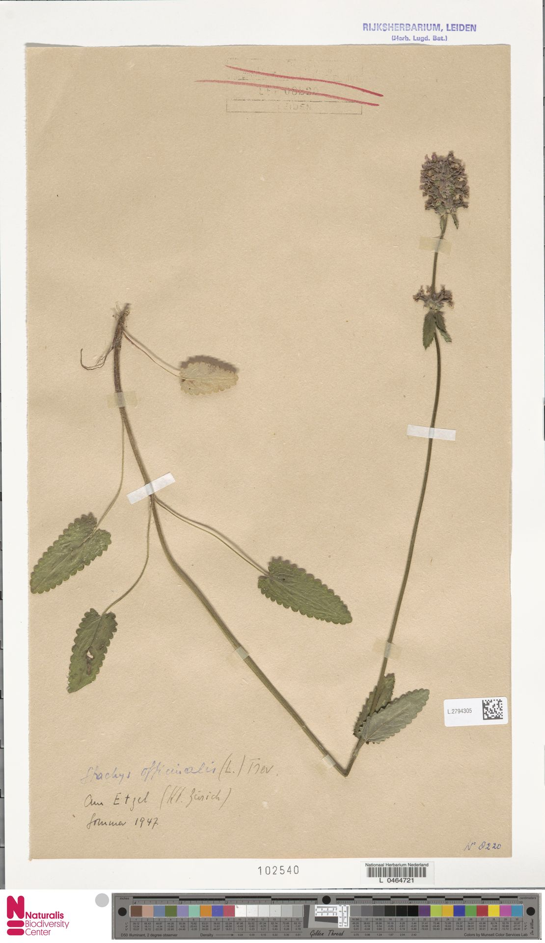L.2794305 | Stachys officinalis (L.) Trevis.