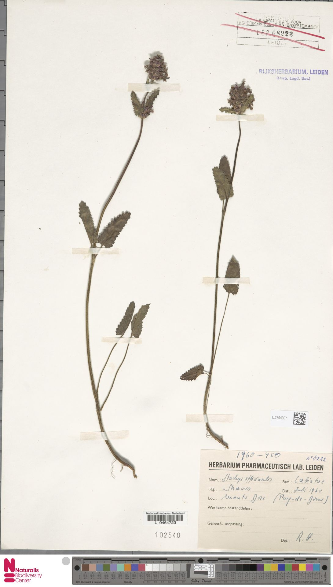 L.2794307 | Stachys officinalis (L.) Trevis.