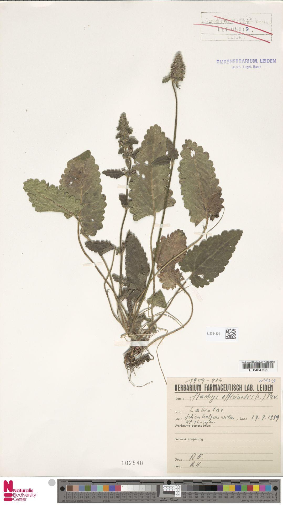 L.2794309 | Stachys officinalis (L.) Trevis.