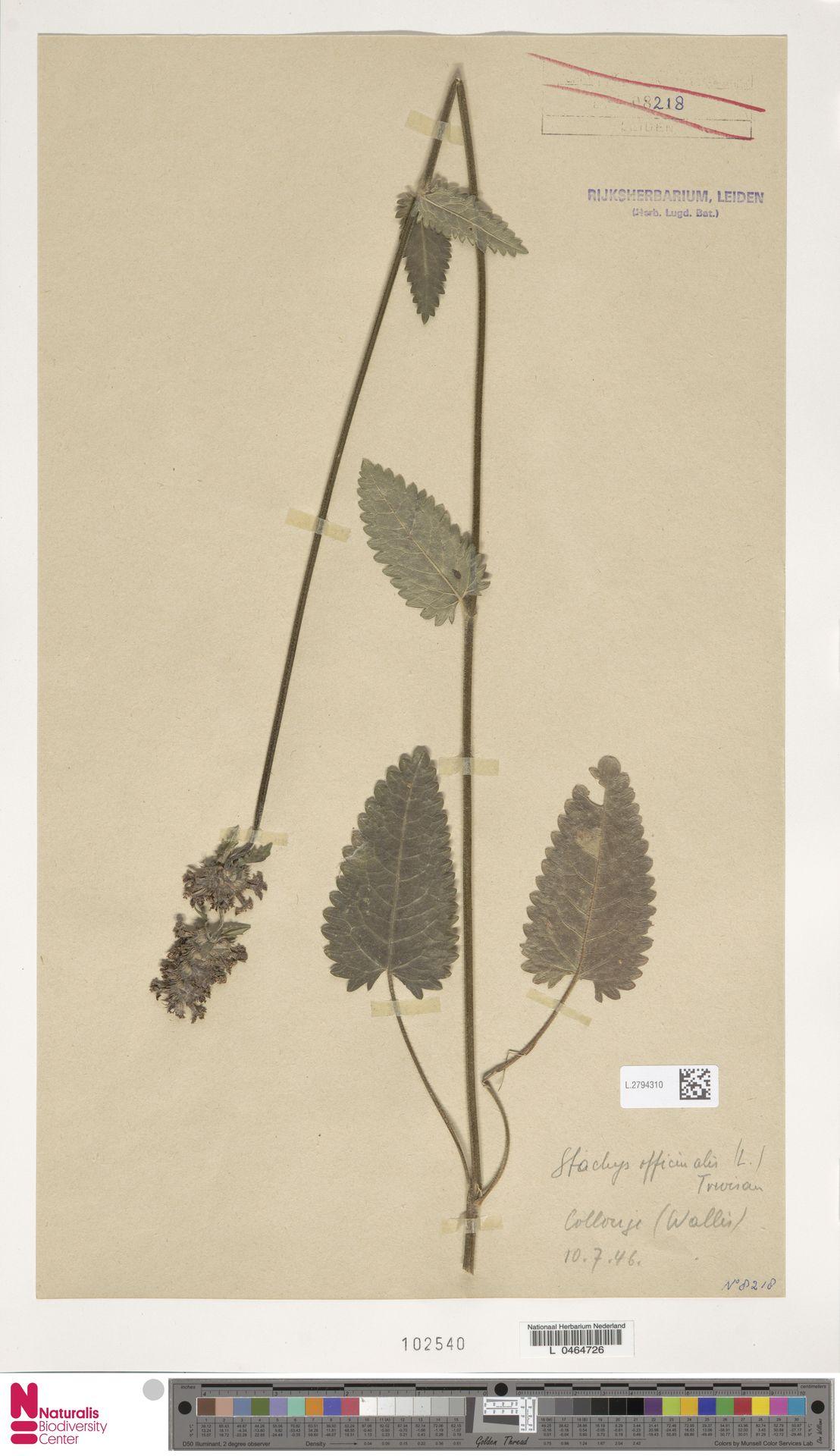 L.2794310 | Stachys officinalis (L.) Trevis.
