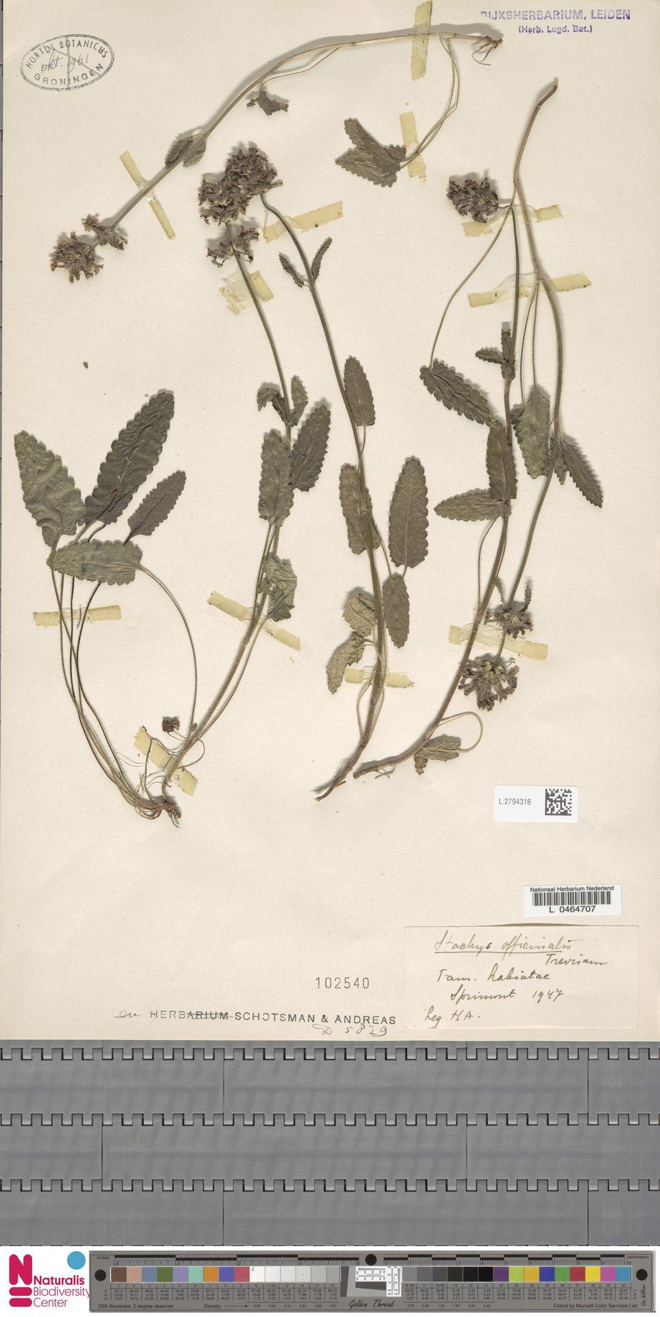 L.2794316 | Stachys officinalis (L.) Trevis.