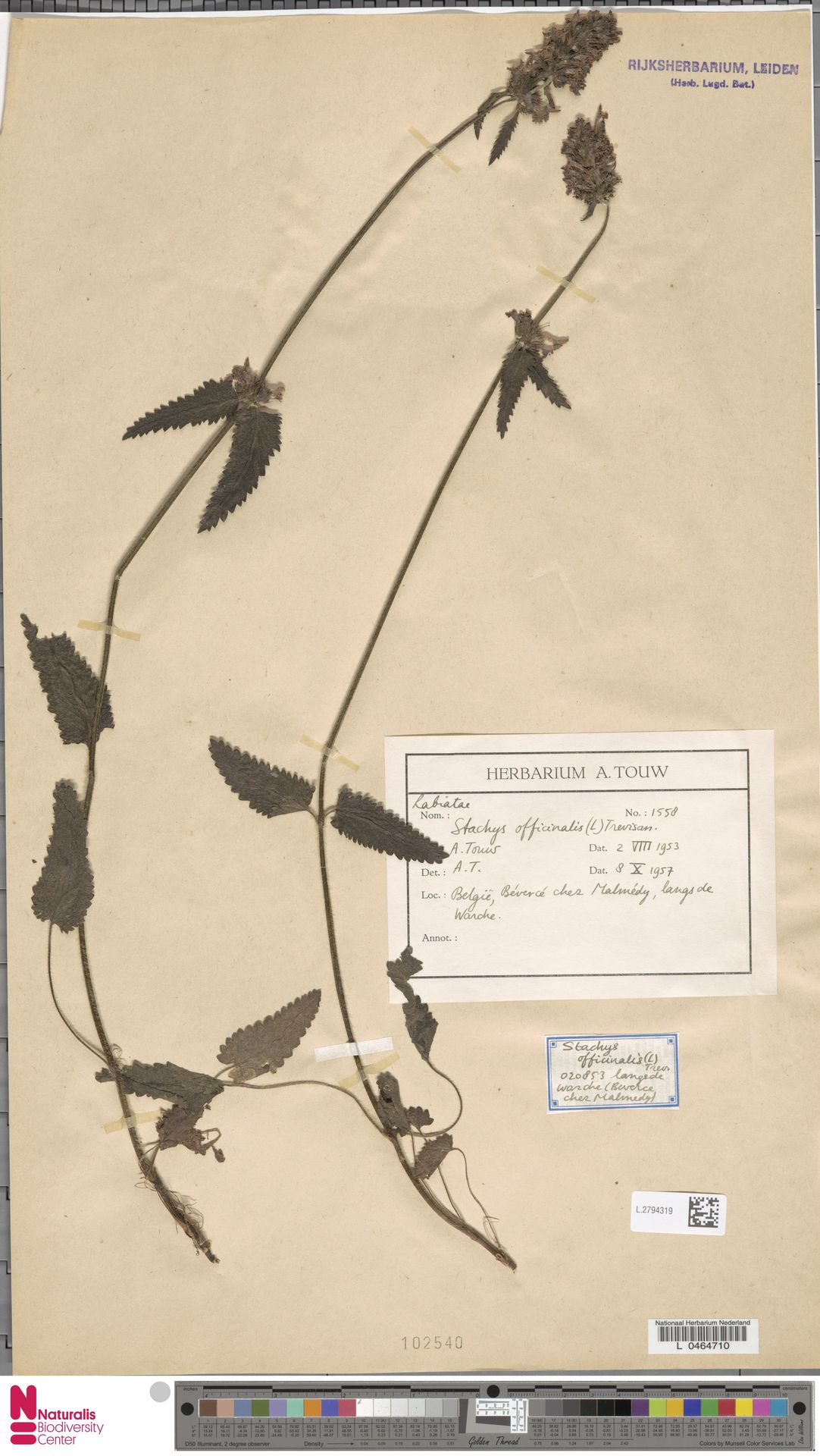 L.2794319 | Stachys officinalis (L.) Trevis.