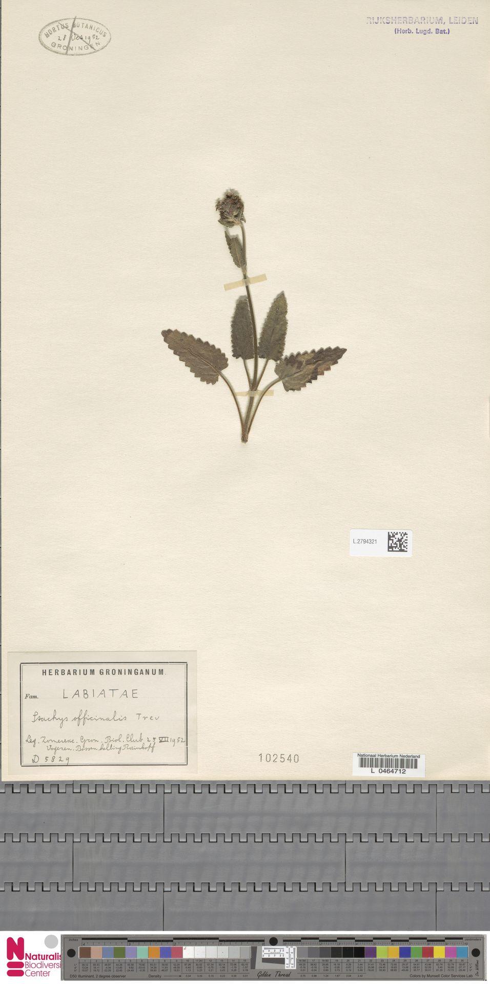 L.2794321 | Stachys officinalis (L.) Trevis.