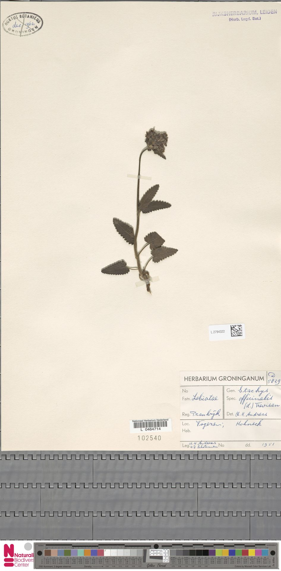 L.2794322 | Stachys officinalis (L.) Trevis.