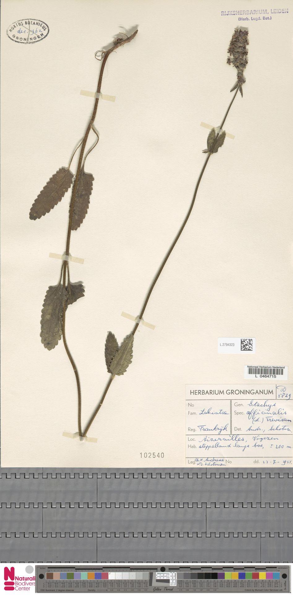 L.2794323   Stachys officinalis (L.) Trevis.