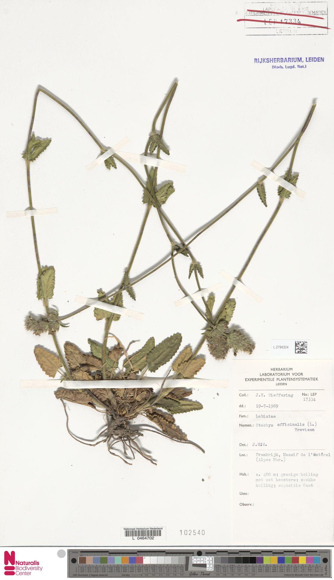 L.2794324   Stachys officinalis (L.) Trevis.