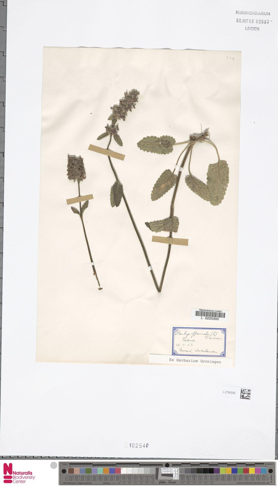 L.2794326 | Stachys officinalis (L.) Trevis.