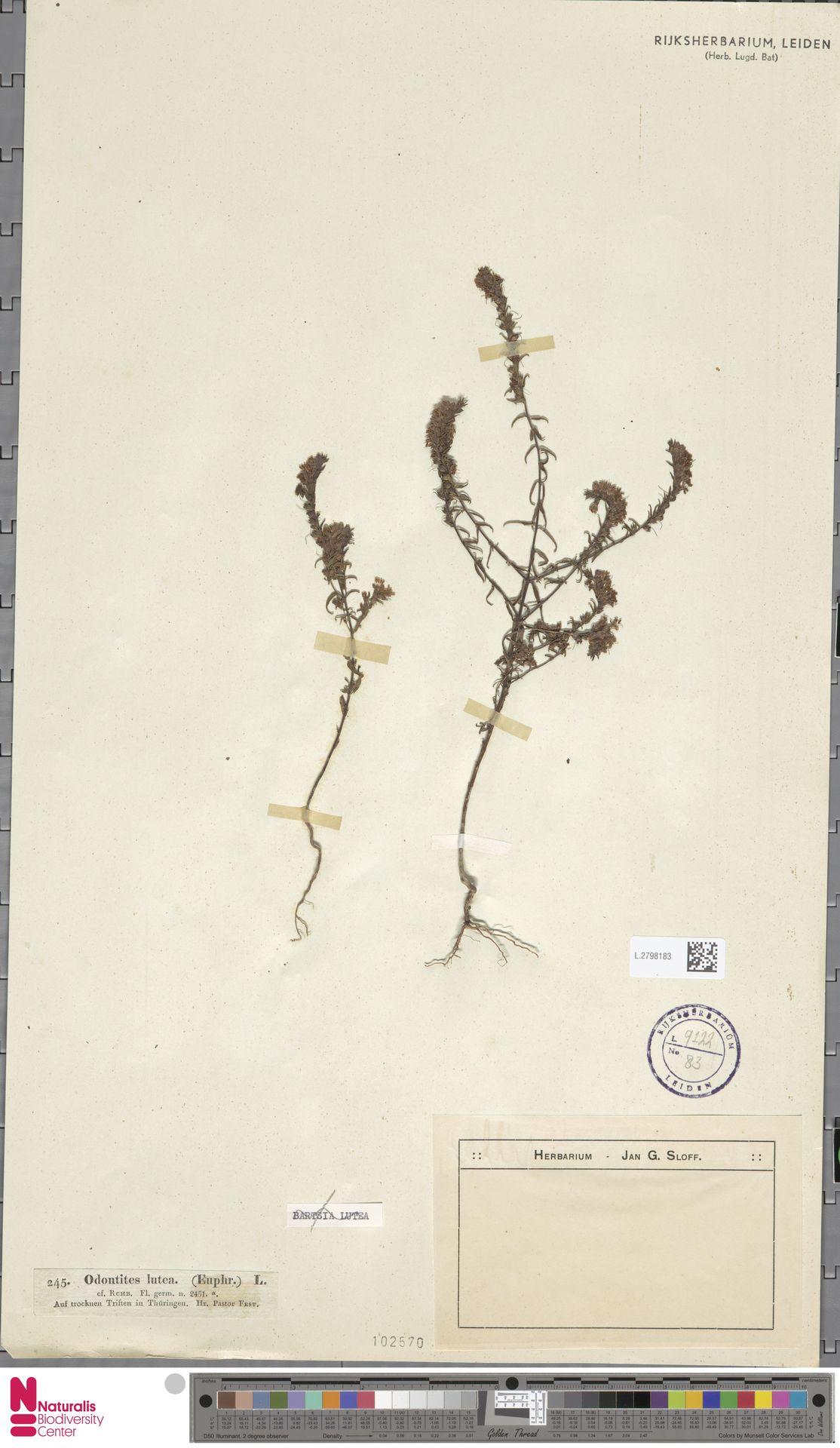 L.2798183 | Odontites luteus (L.) Clairv.