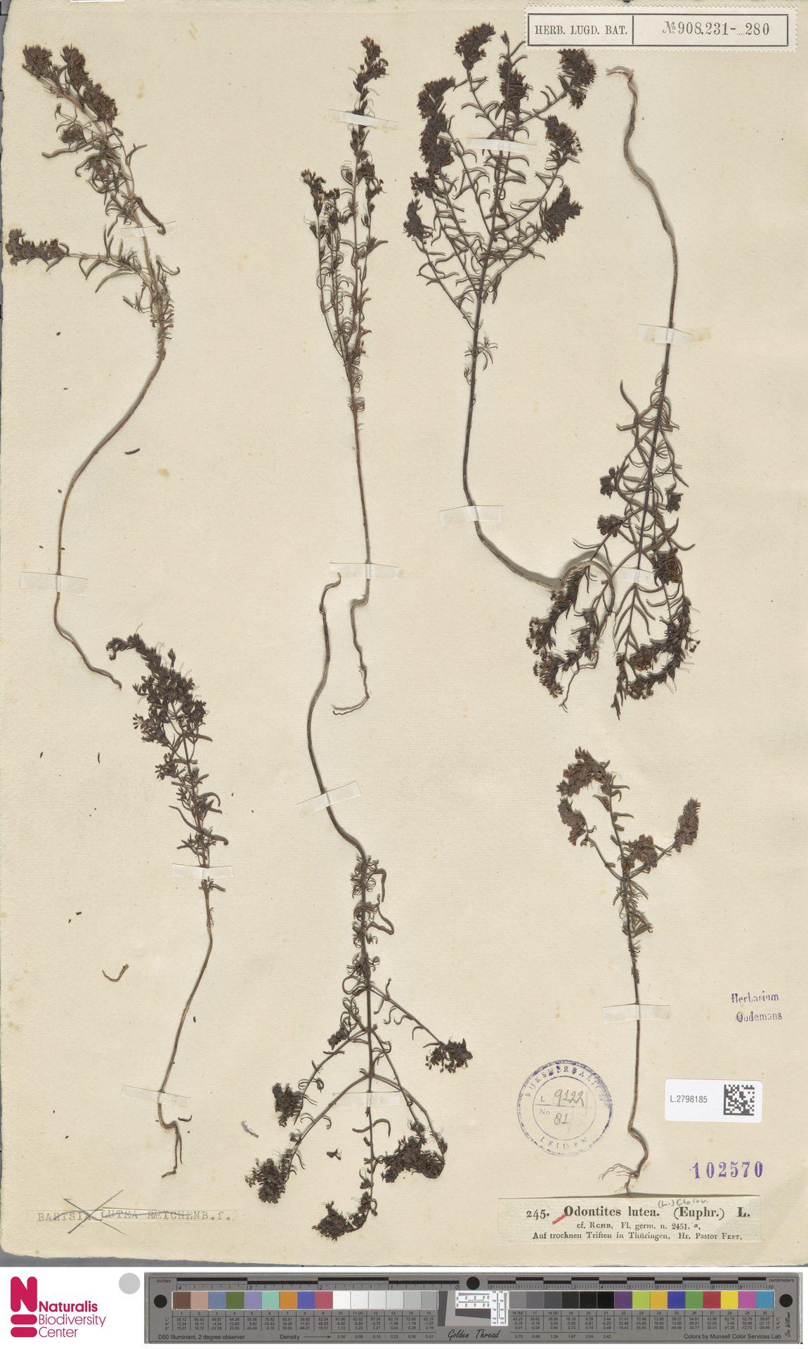 L.2798185 | Odontites luteus (L.) Clairv.