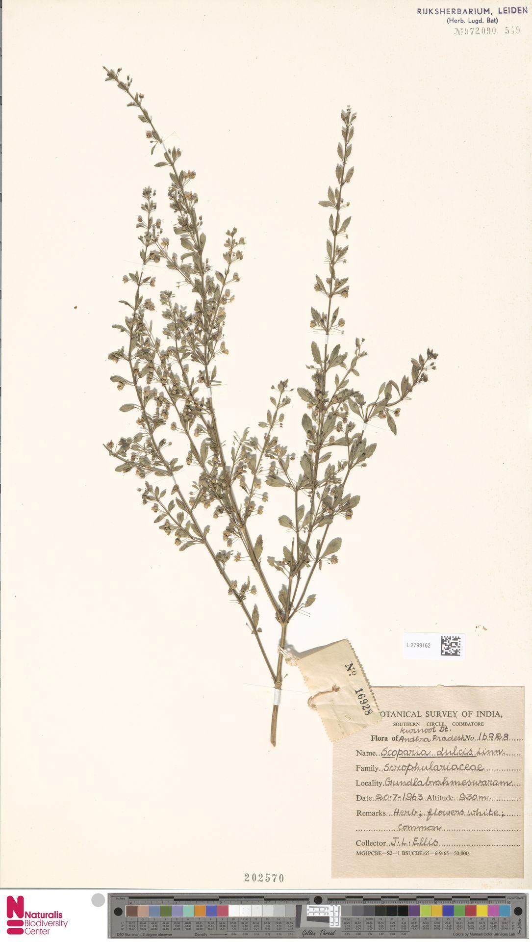 L.2799162 | Scoparia dulcis L.