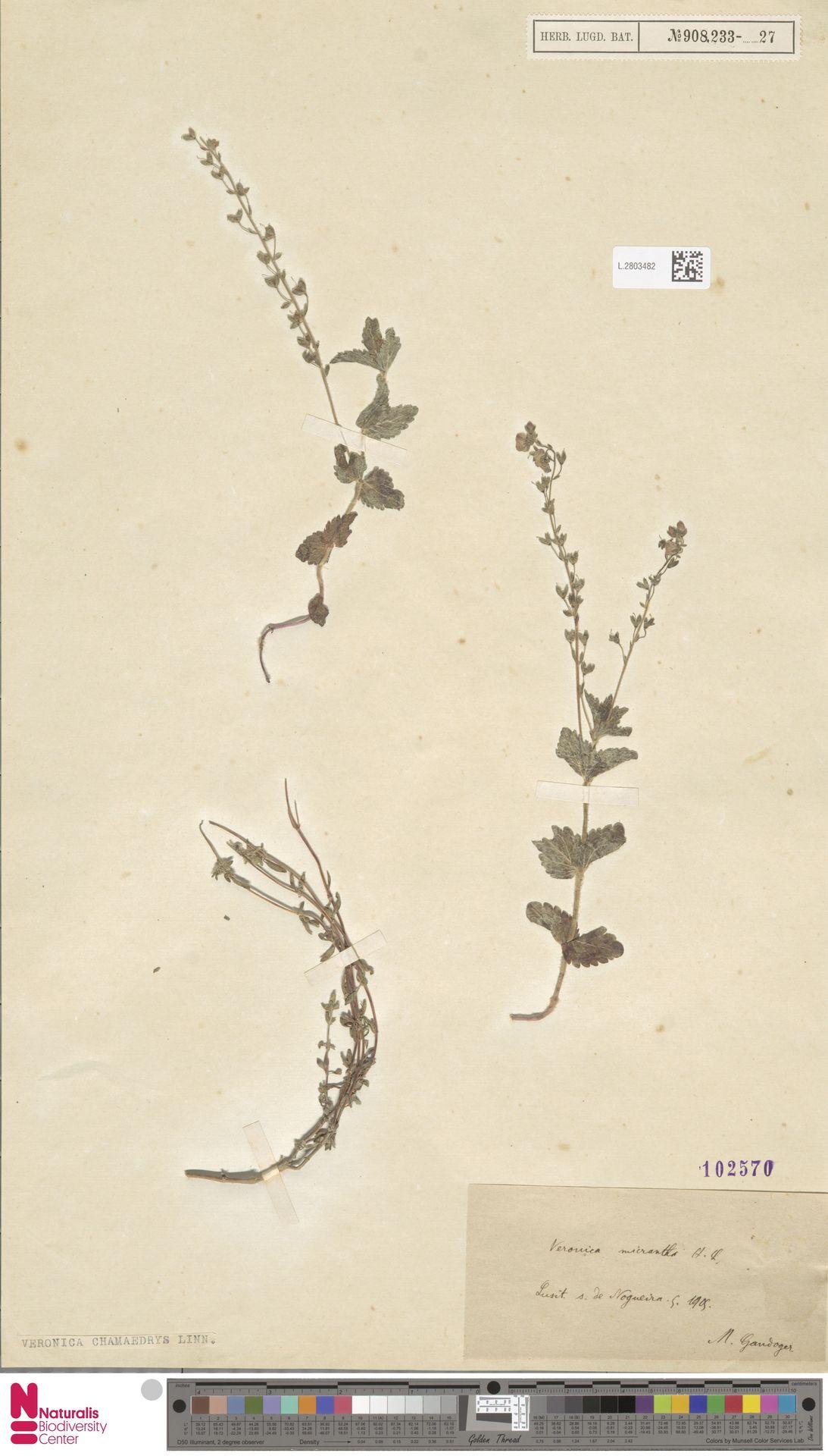 L.2803482 | Veronica chamaedrys L.