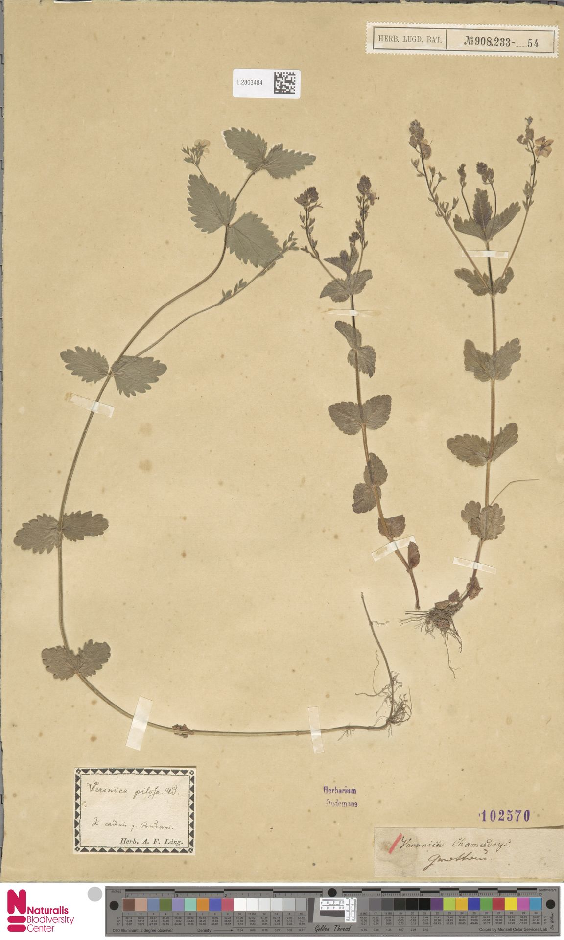 L.2803484 | Veronica chamaedrys L.