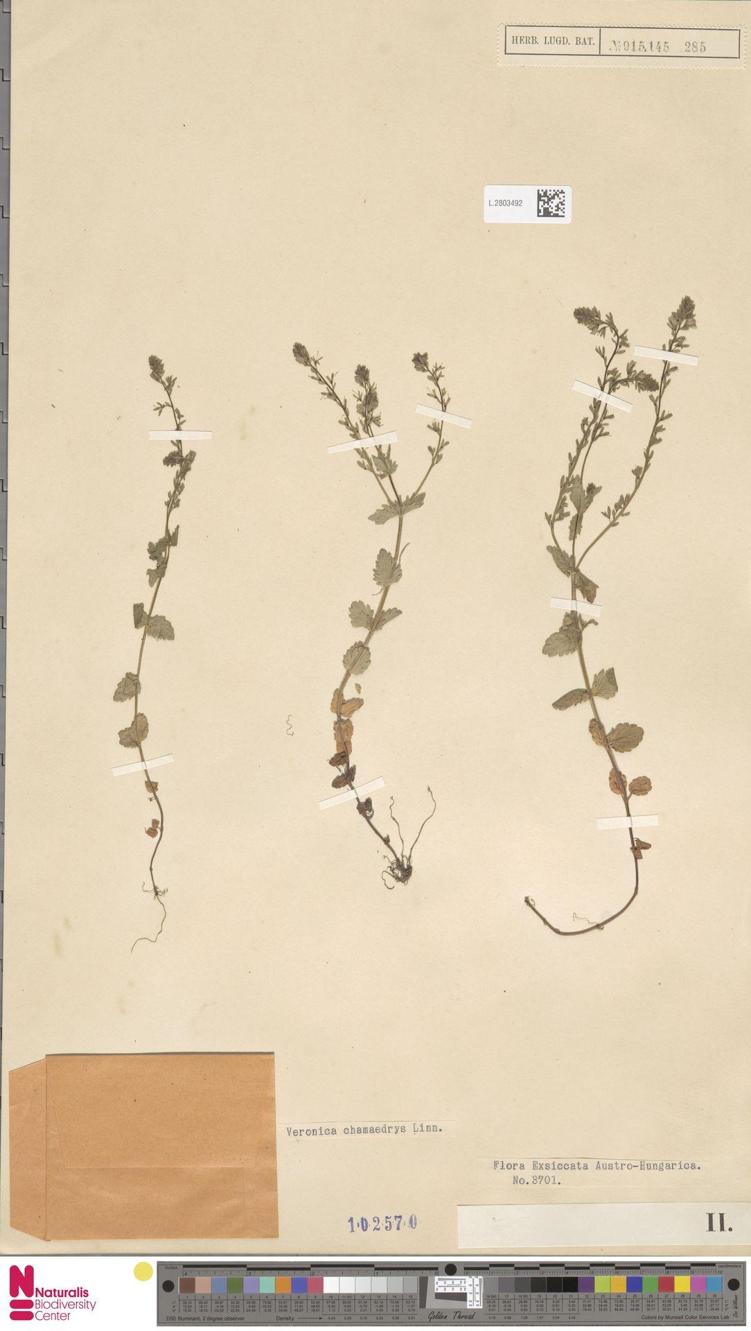 L.2803492   Veronica chamaedrys L.