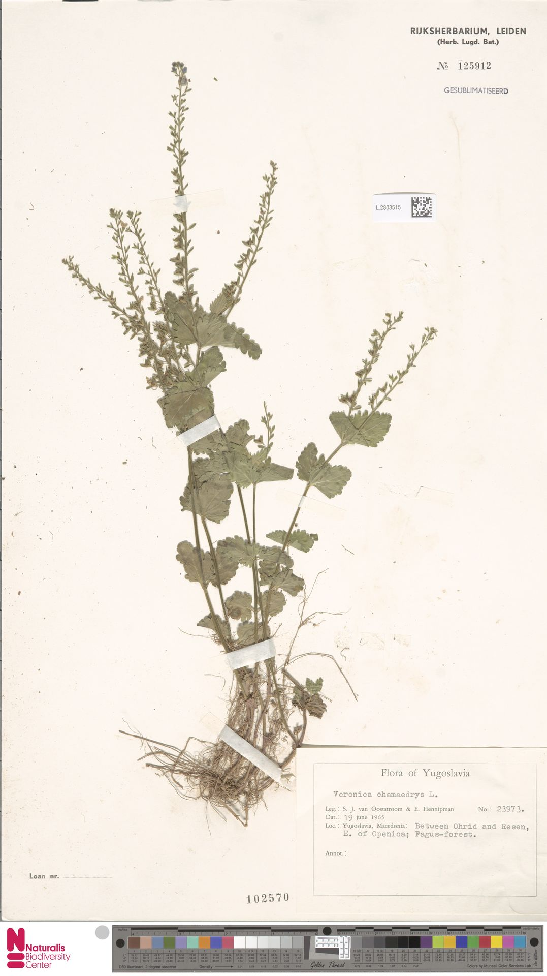 L.2803515 | Veronica chamaedrys L.
