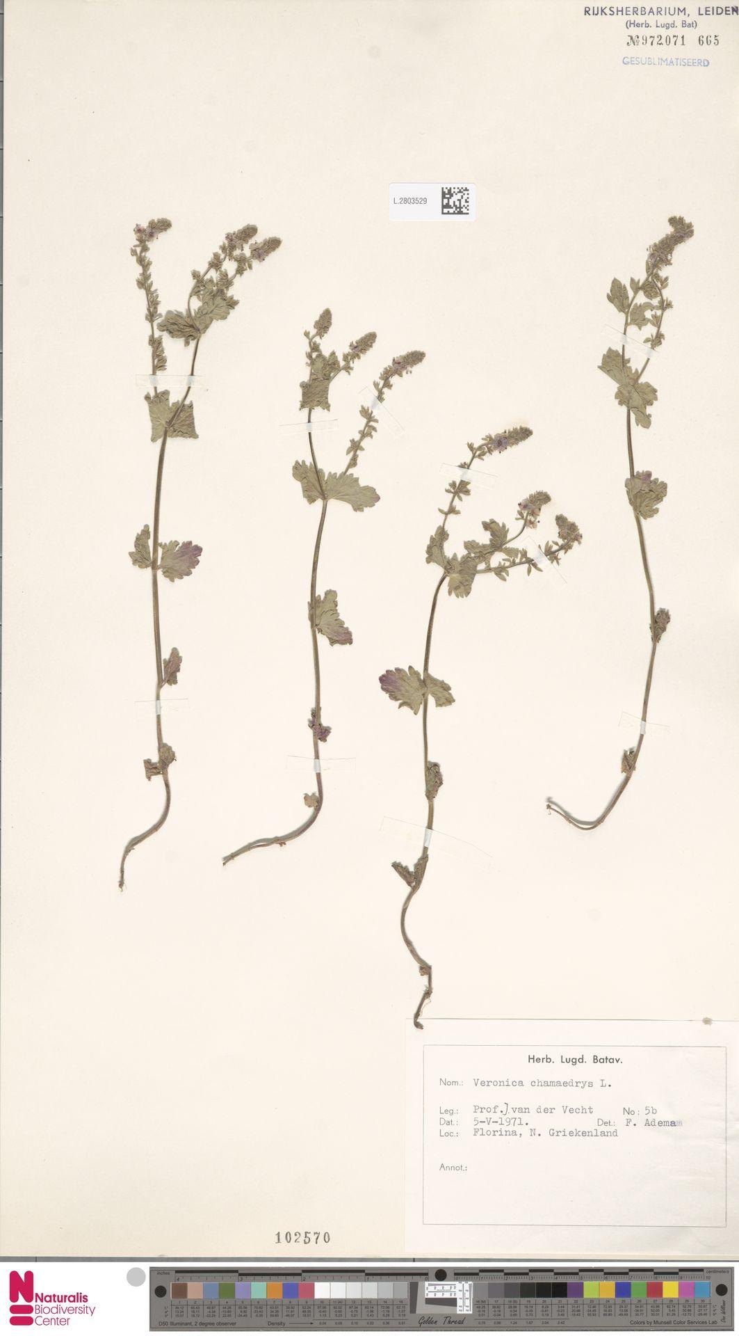 L.2803529 | Veronica chamaedrys L.
