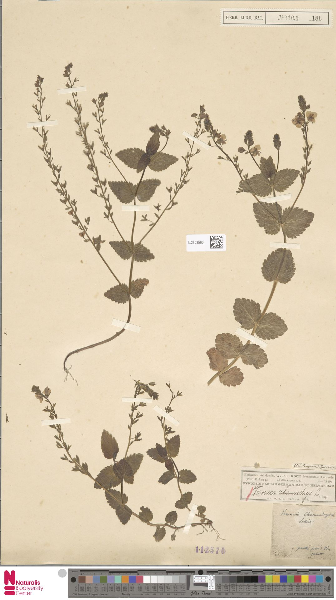 L.2803560   Veronica chamaedrys L.