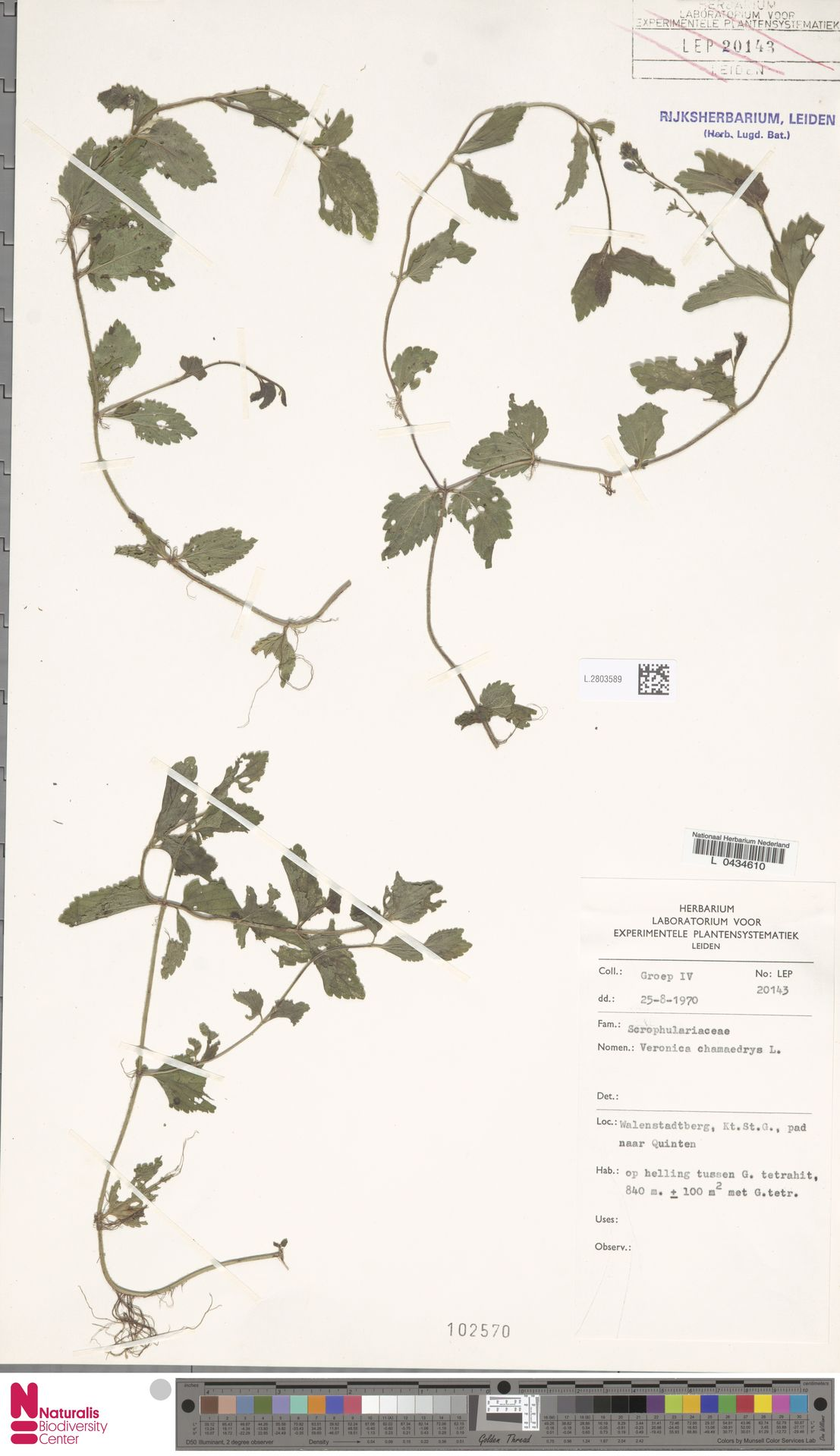 L.2803589 | Veronica chamaedrys L.
