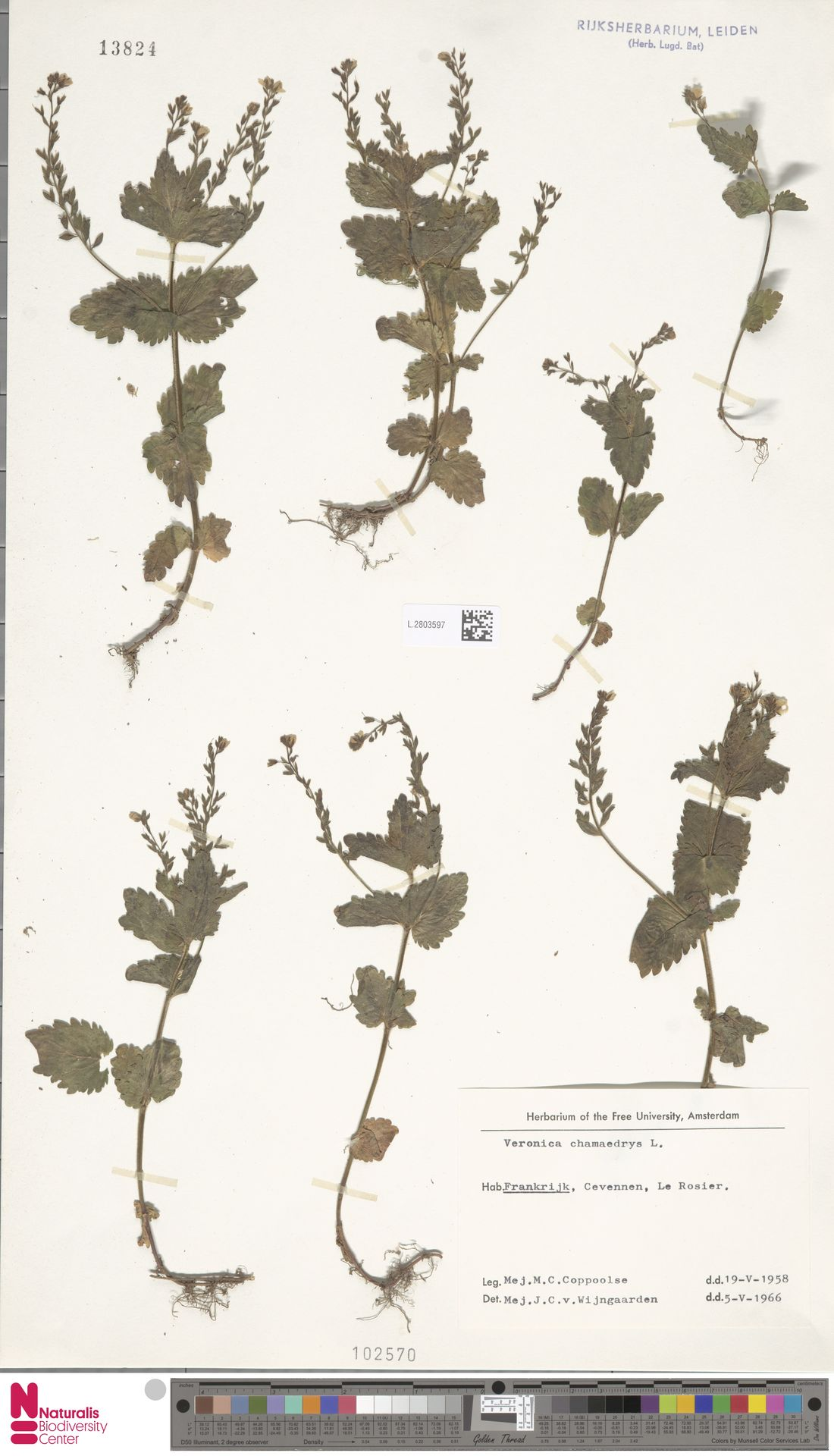 L.2803597   Veronica chamaedrys L.