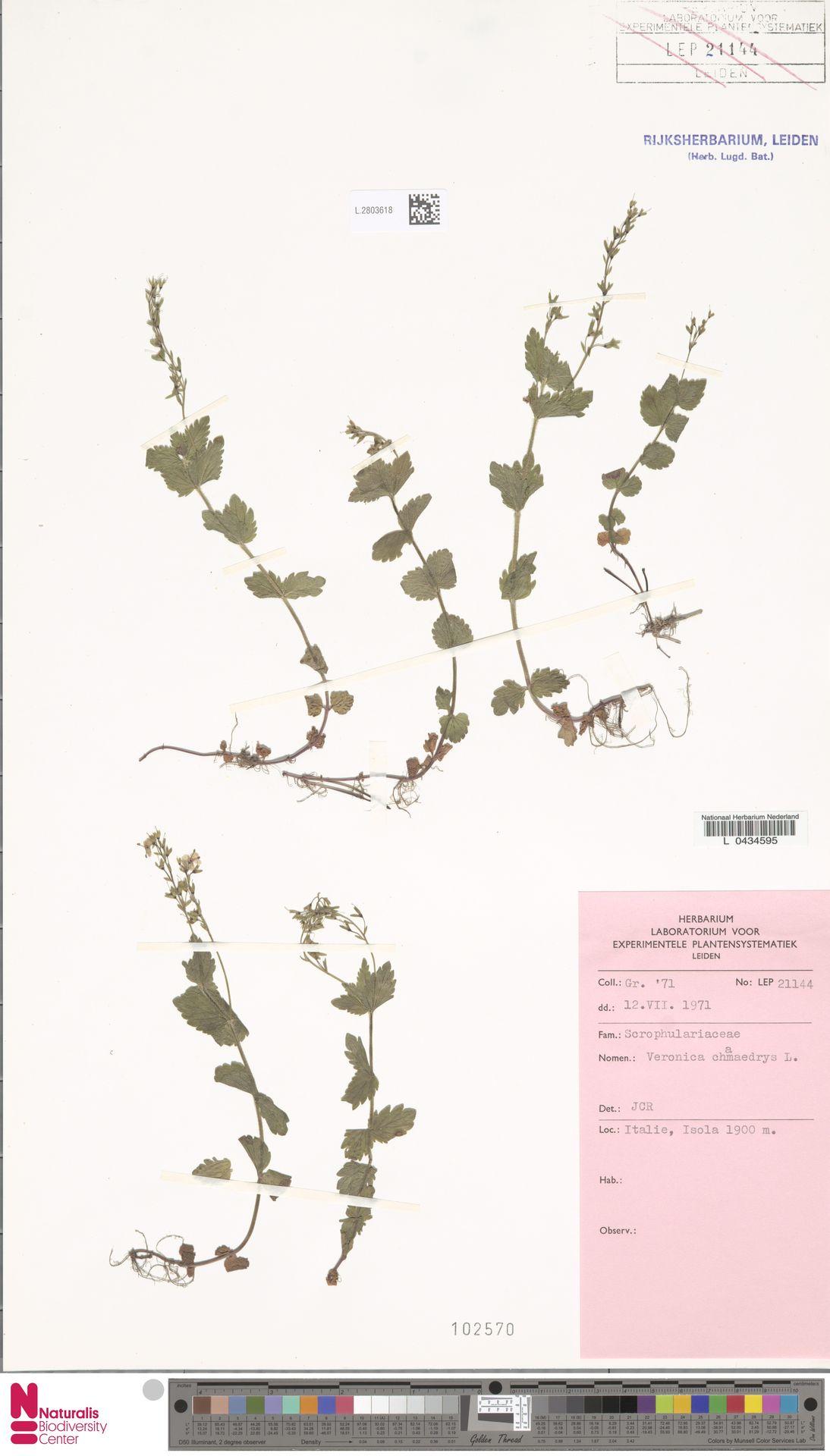L.2803618 | Veronica chamaedrys L.