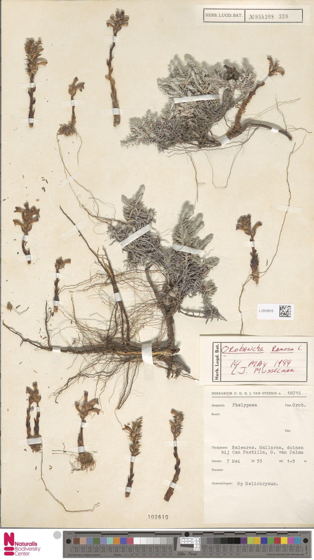 L.2816910 | Orobanche ramosa L.