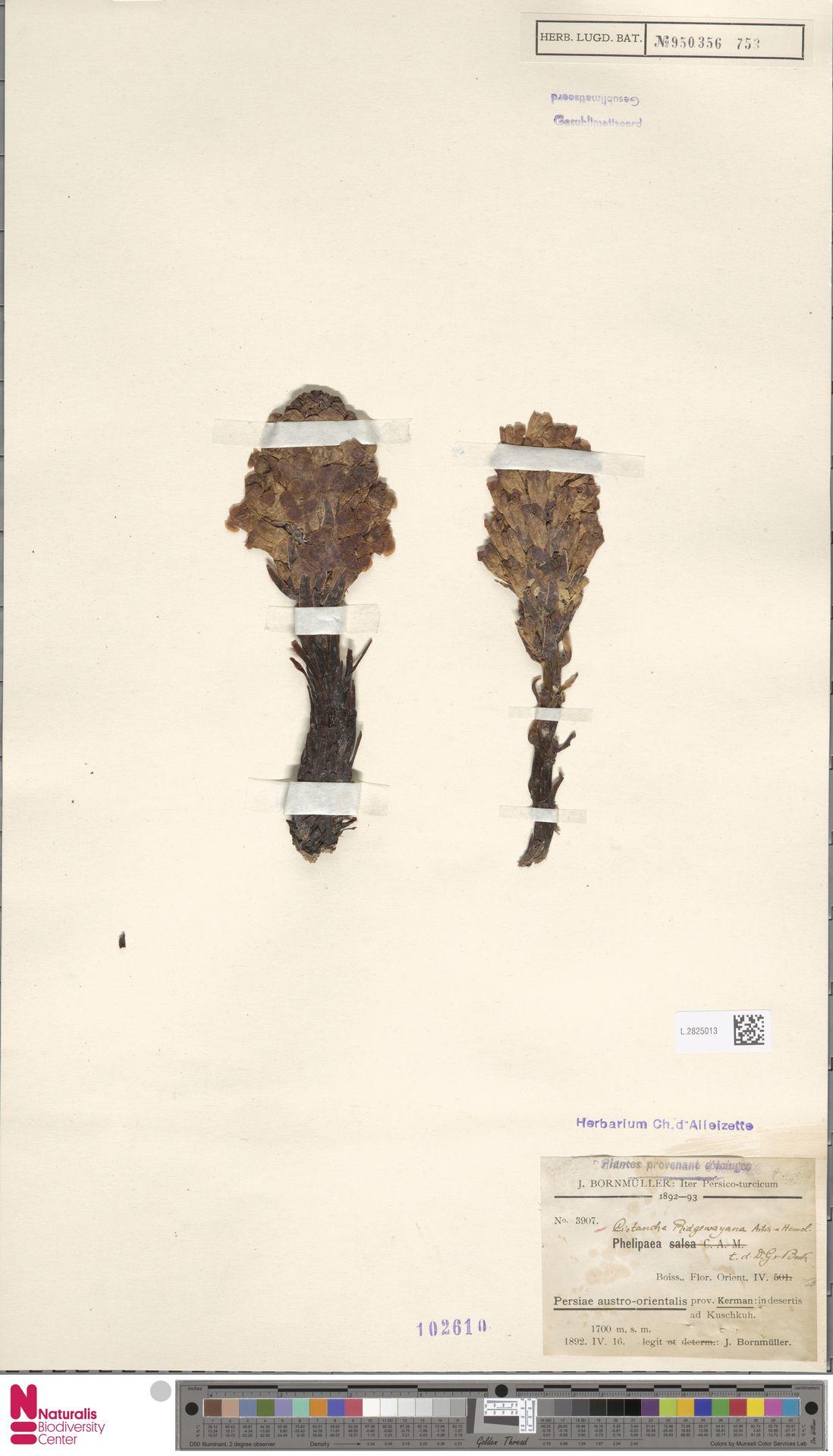 L.2825013 | Cistanche ridgewayana Aitch. & Hemsl.