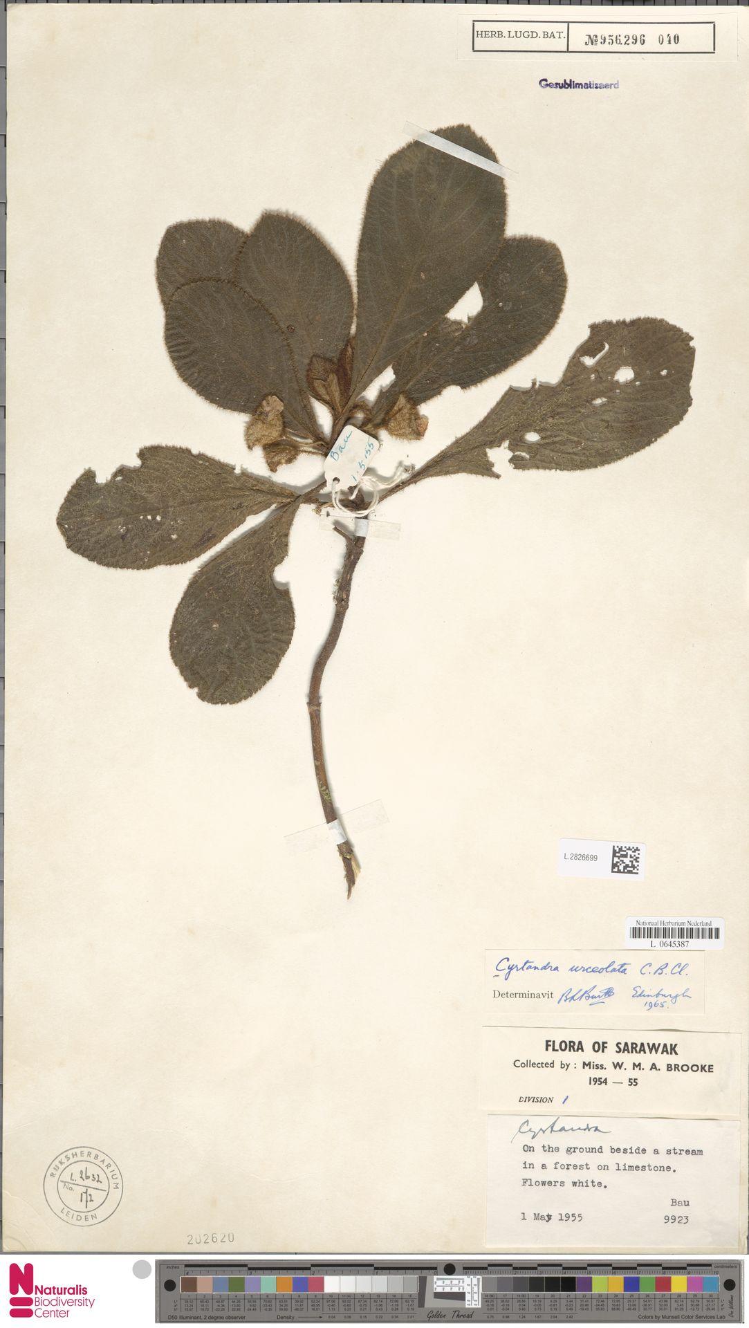 L.2826699 | Cyrtandra urceolata C.B.Clarke
