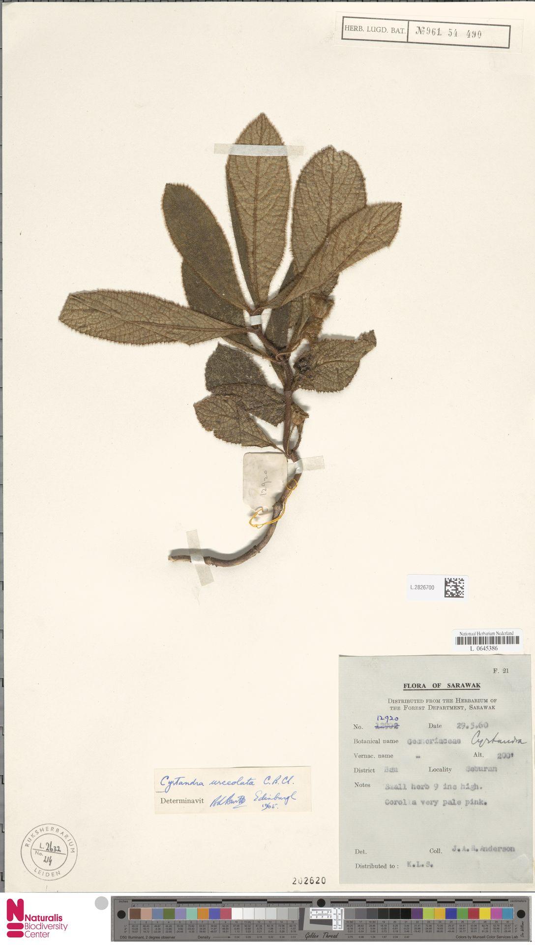L.2826700 | Cyrtandra urceolata C.B.Clarke