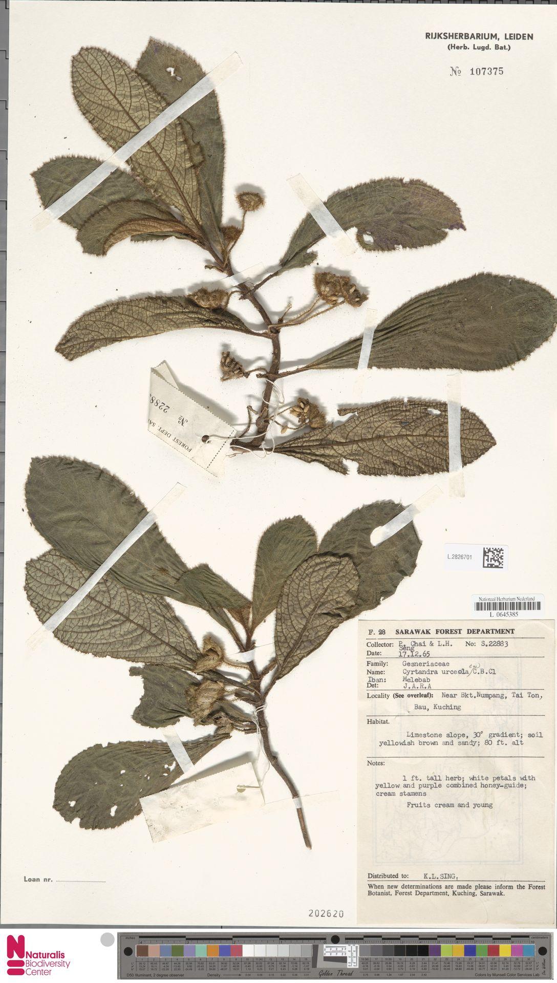L.2826701 | Cyrtandra urceolata C.B.Clarke