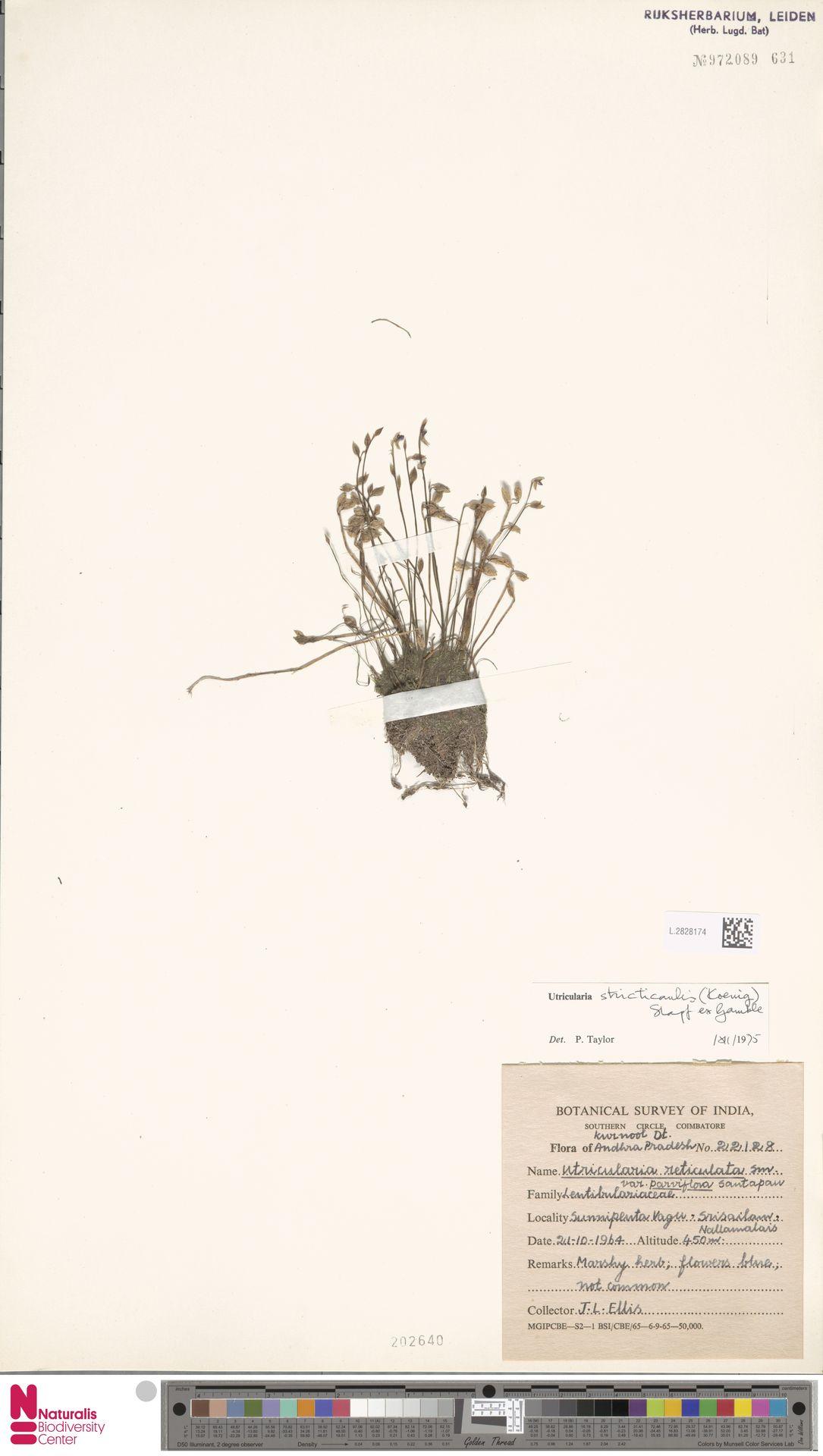 L.2828174 | Utricularia stricticaulis (Koenig ex Oliver) Stapf ex Gamble