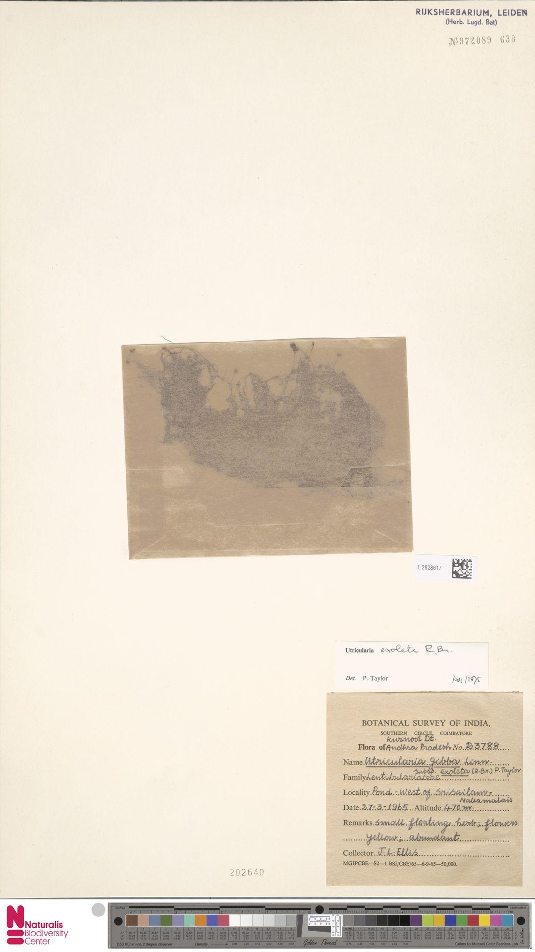L.2828617 | Utricularia exoleta R.Br.