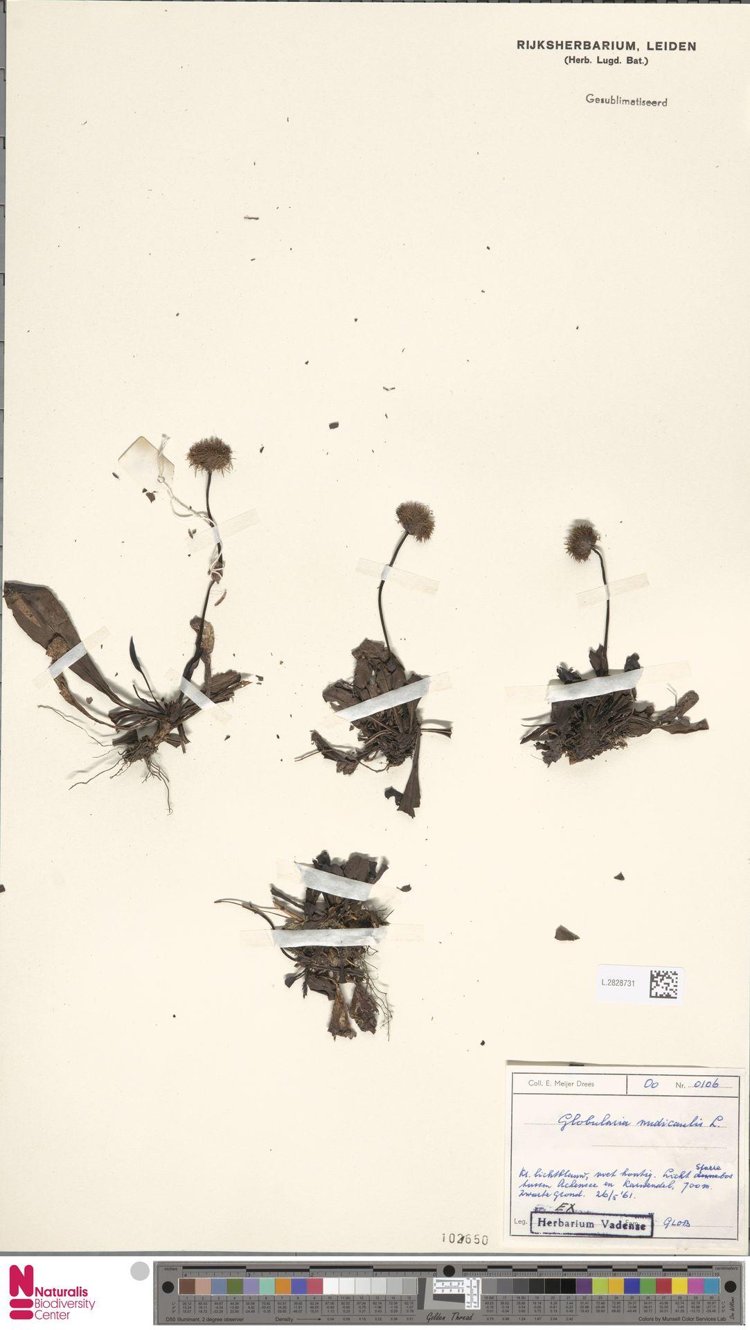 L.2828731 | Globularia nudicaulis L.