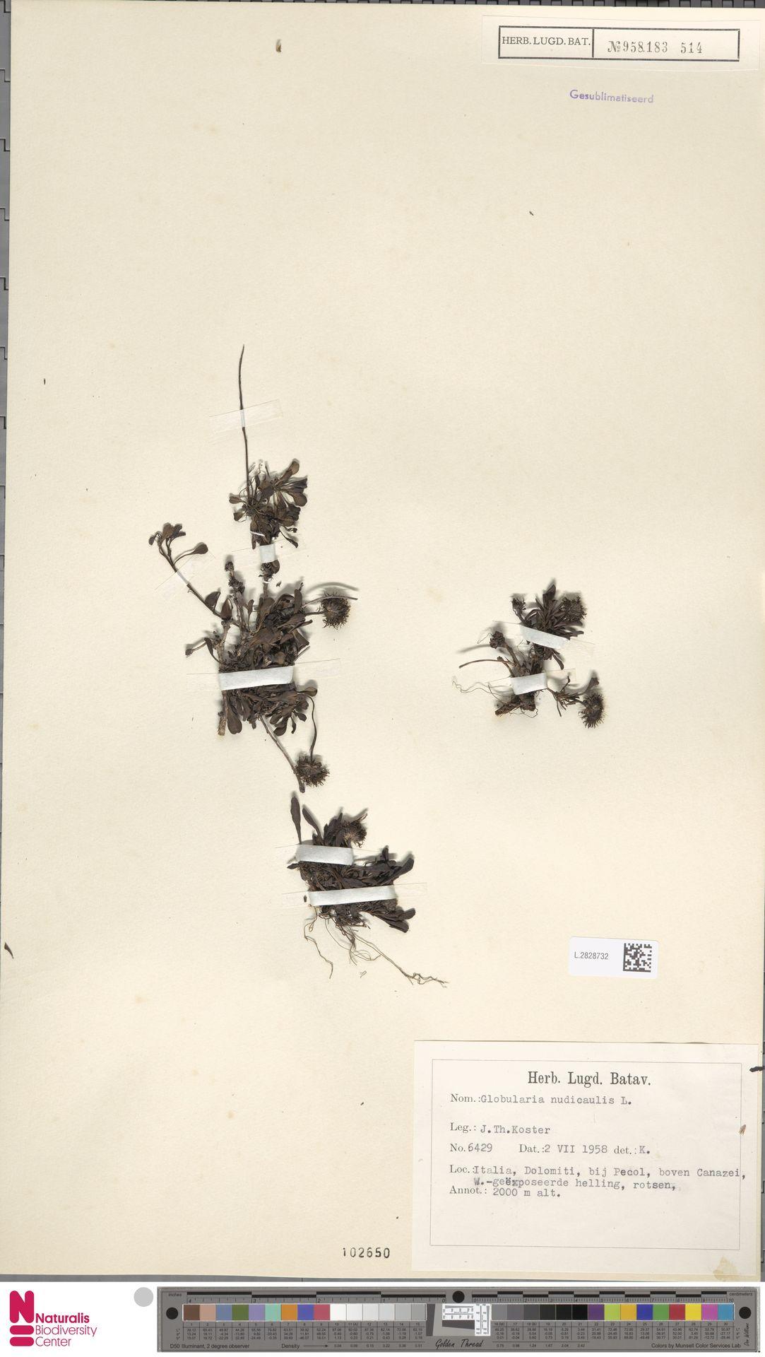 L.2828732 | Globularia nudicaulis L.