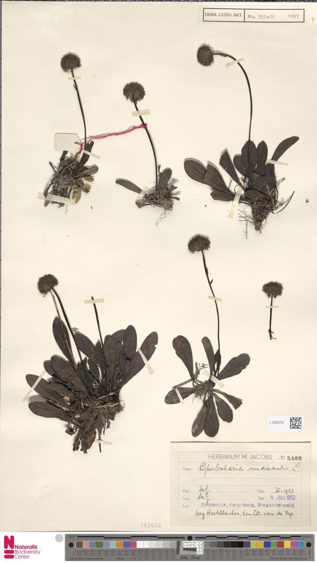 L.2828733 | Globularia nudicaulis L.