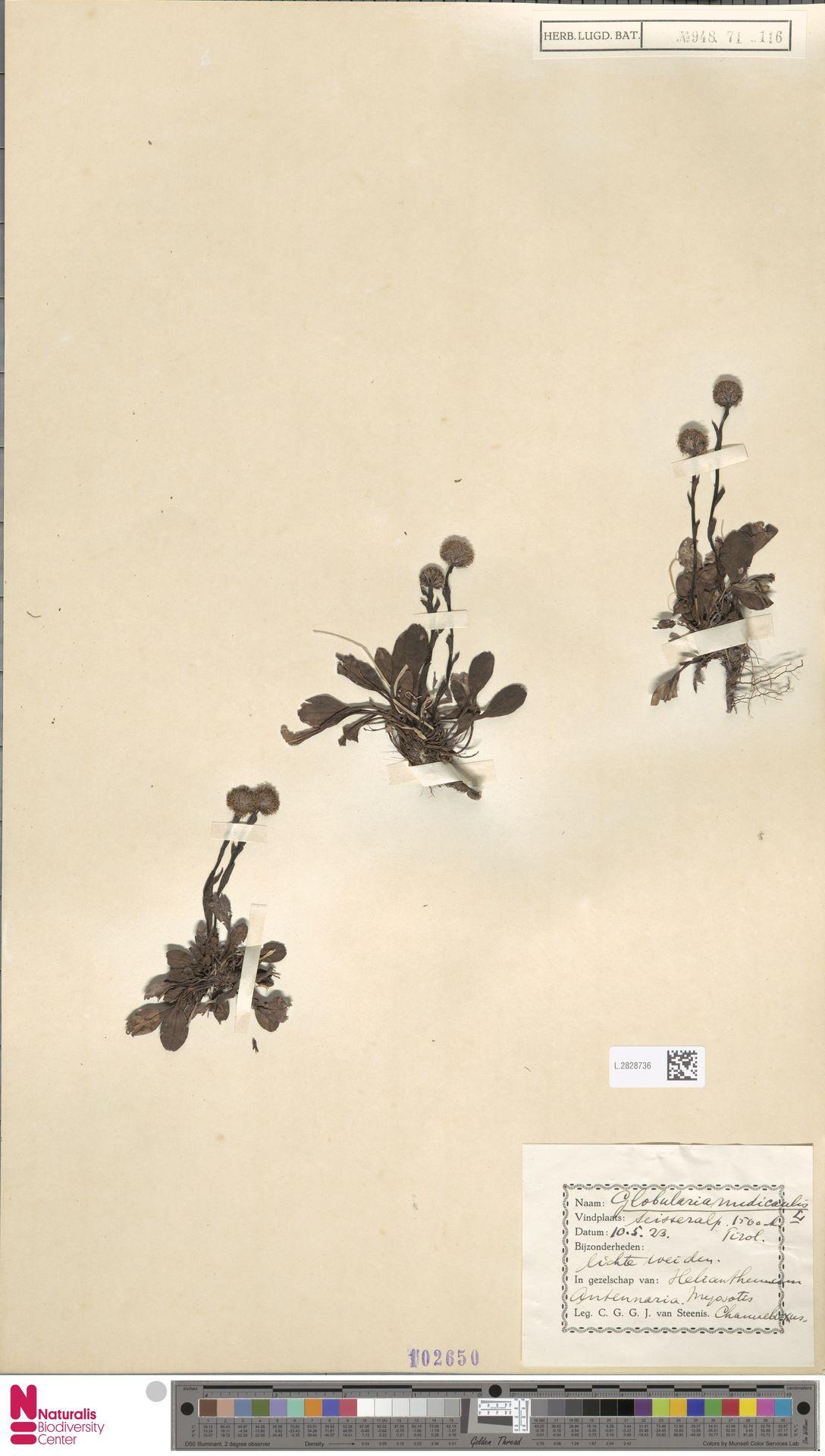 L.2828736 | Globularia nudicaulis L.